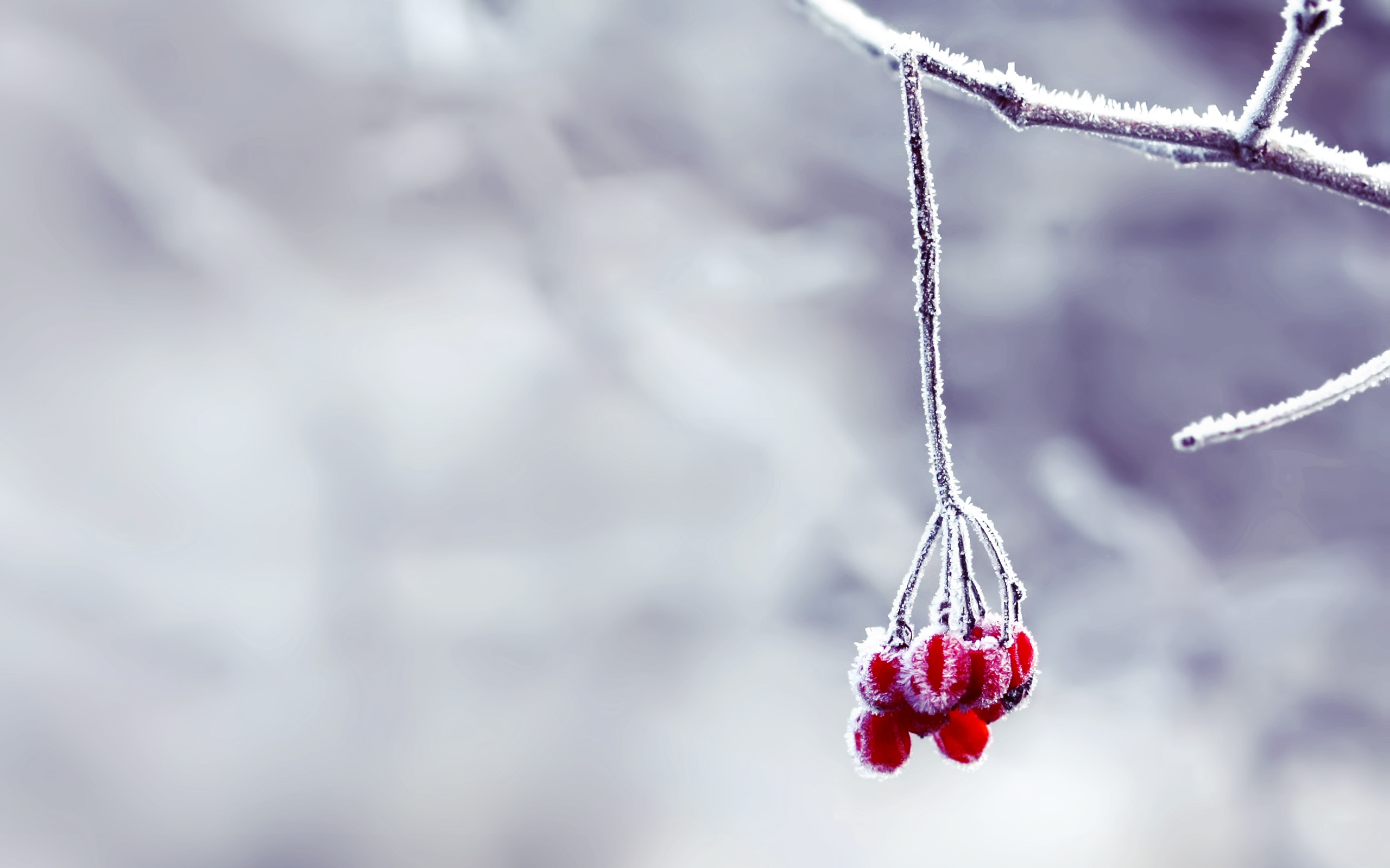 2560x1600 snow wallpaper berries