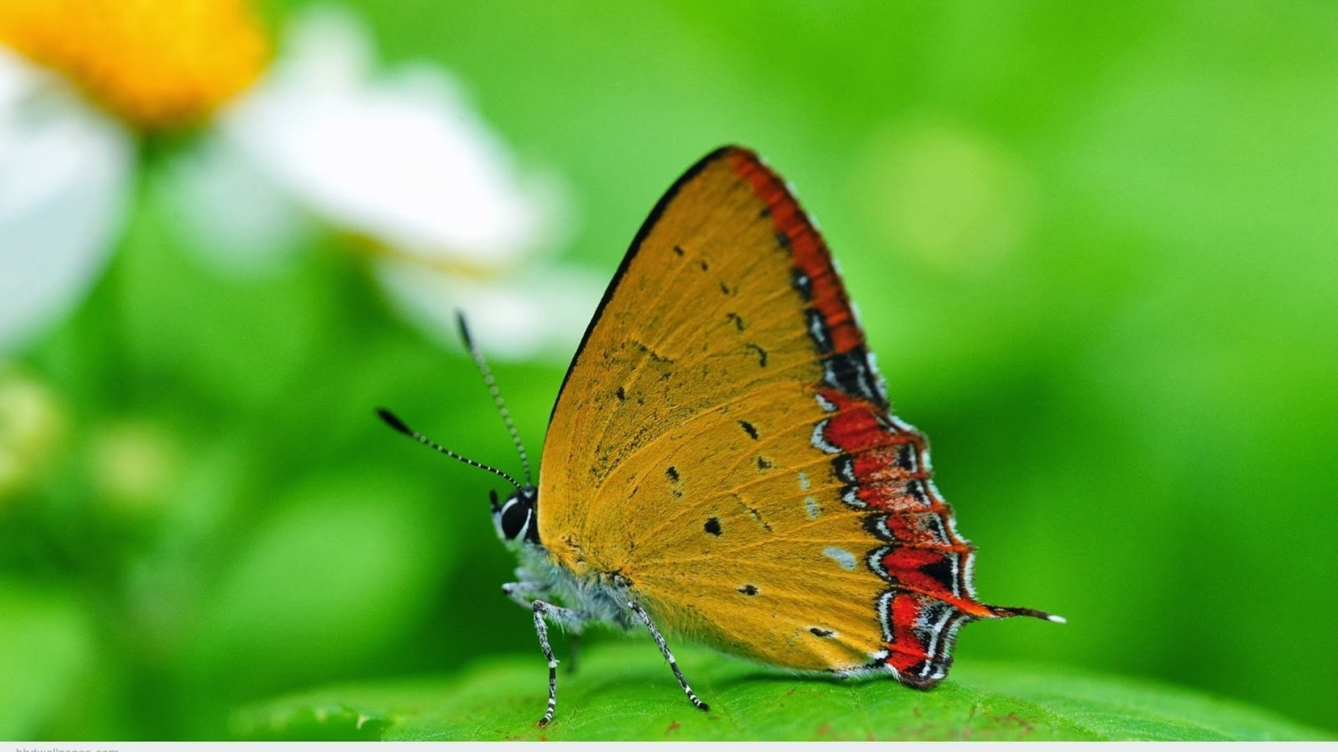 1920x1080 ... Attachment for full hd nature wallpapers 1080p desktop - butterfly  macro ...