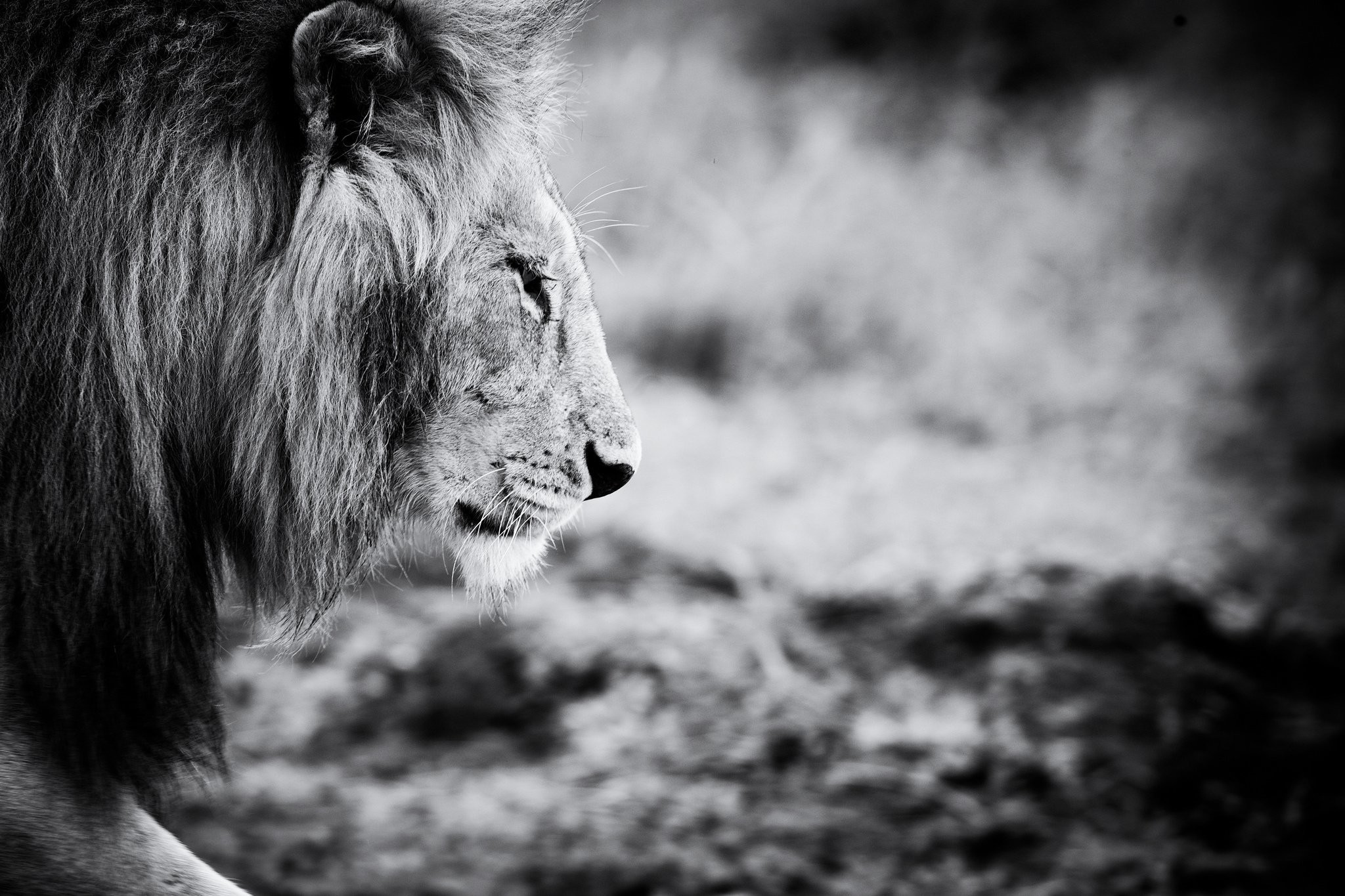 Black And White Lion Wallpaper (51+ Images