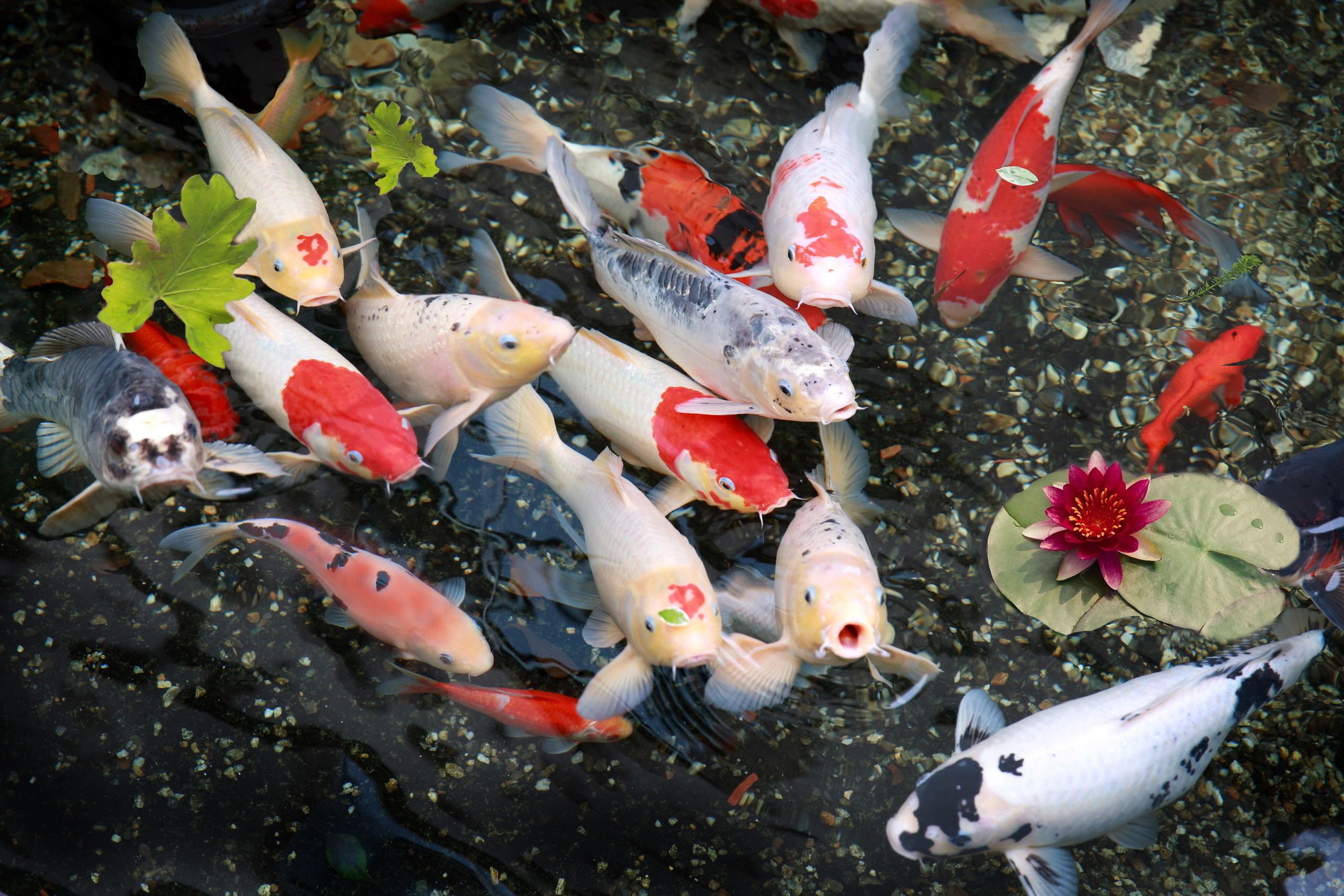 Koi Fish Wallpaper 59 Images