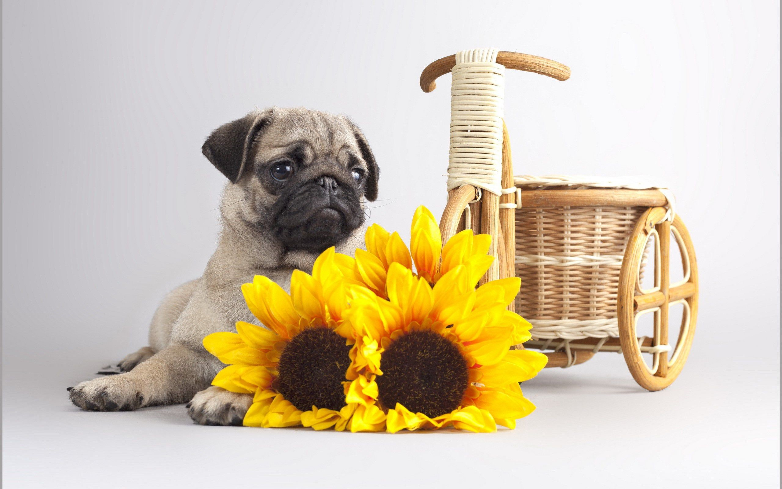 All Wallpapers Pug Dog Hd Wallpapers: Pug Puppy Wallpaper (66+ Images