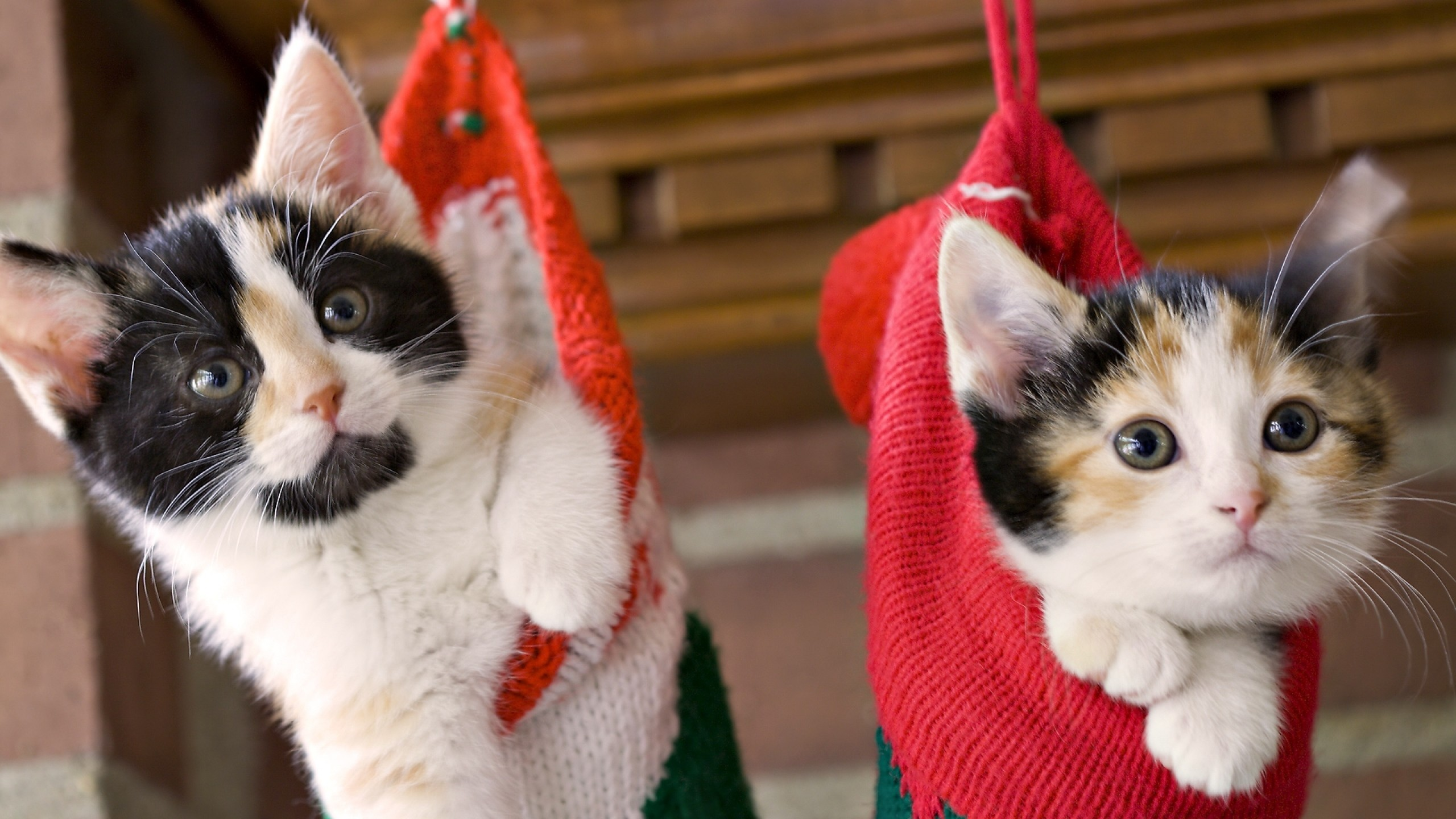 2560x1440  Wallpaper kittens, hang, socks, holiday, christmas, fluffy, couple
