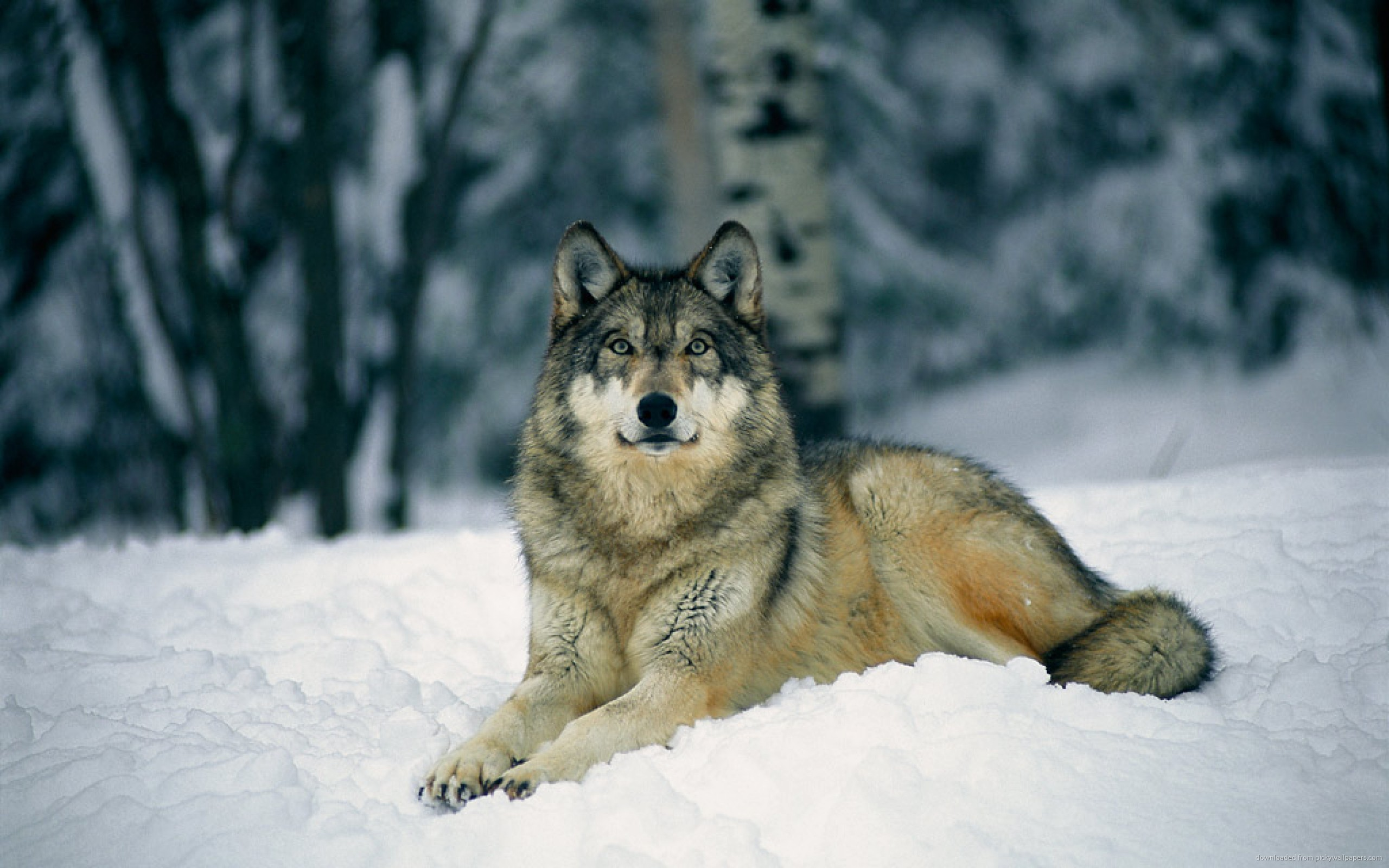 2560x1600 Wolf Laying On Snow for