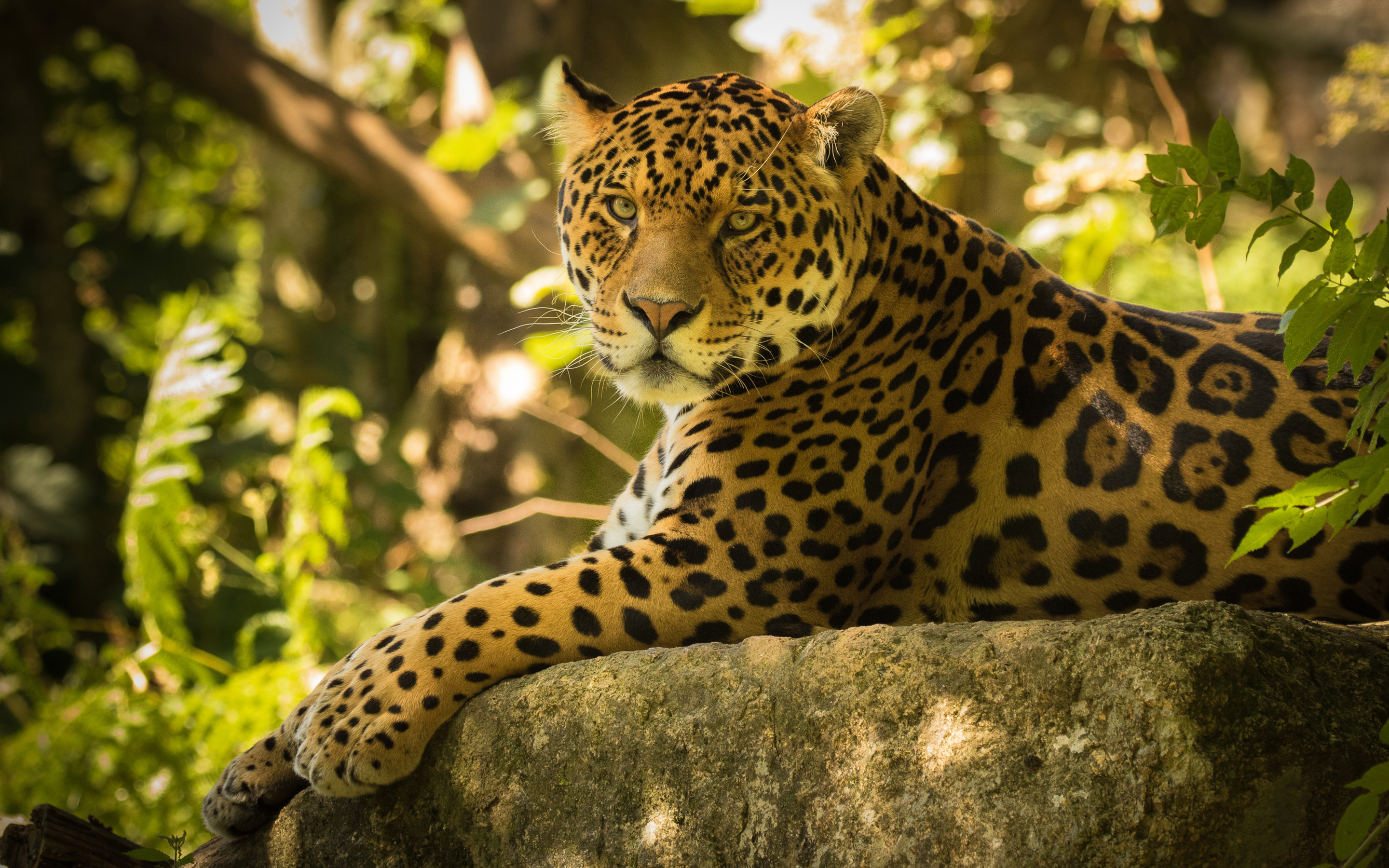 2880x1800 Chincha the Jaguar