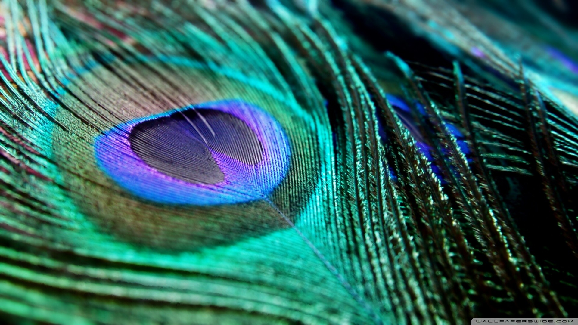 Blue peacock feather background