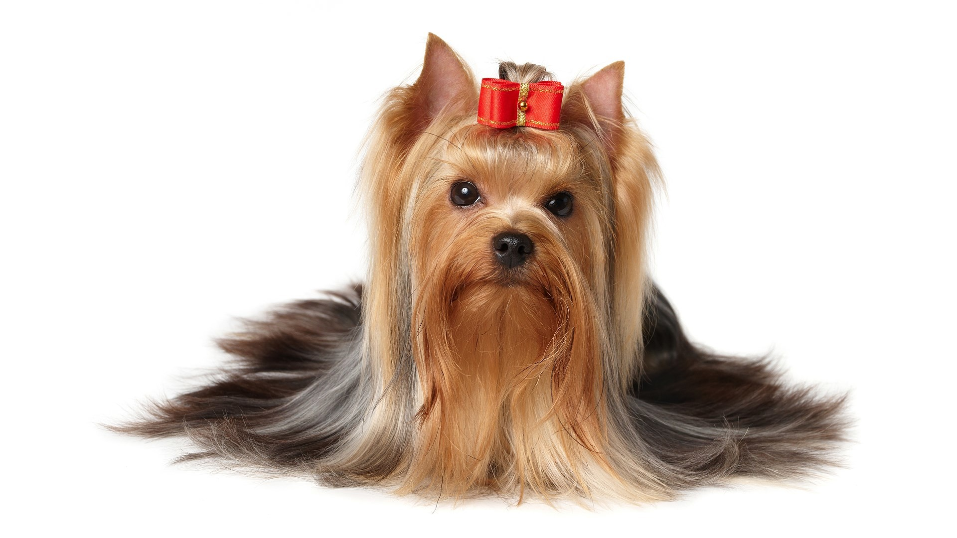 1920x1080 2017-03-01 - yorkshire terrier backgrounds images, #1411804 | ololoshenka |  Pinterest | Yorkshire terrier, Yorkshire and Terrier
