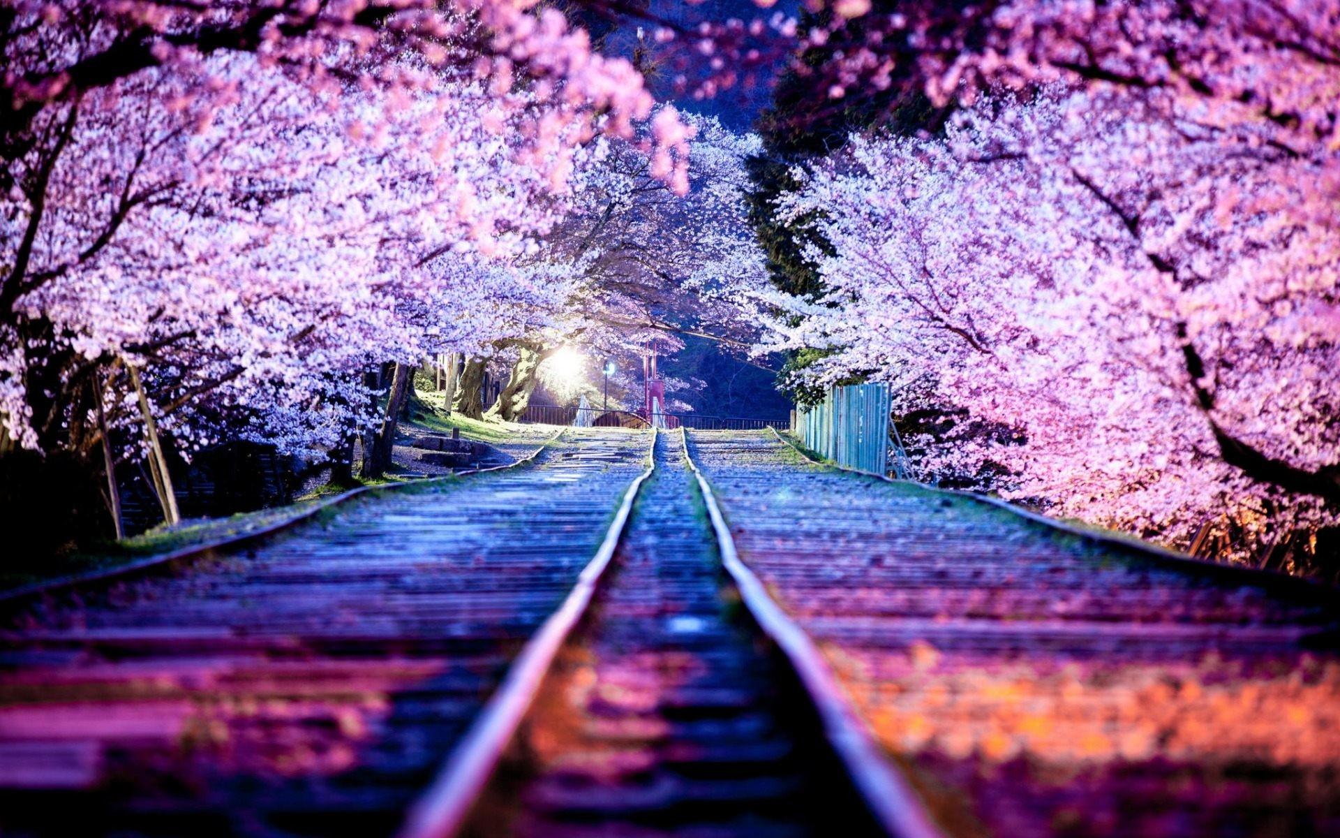 sakura wallpapers  66  images
