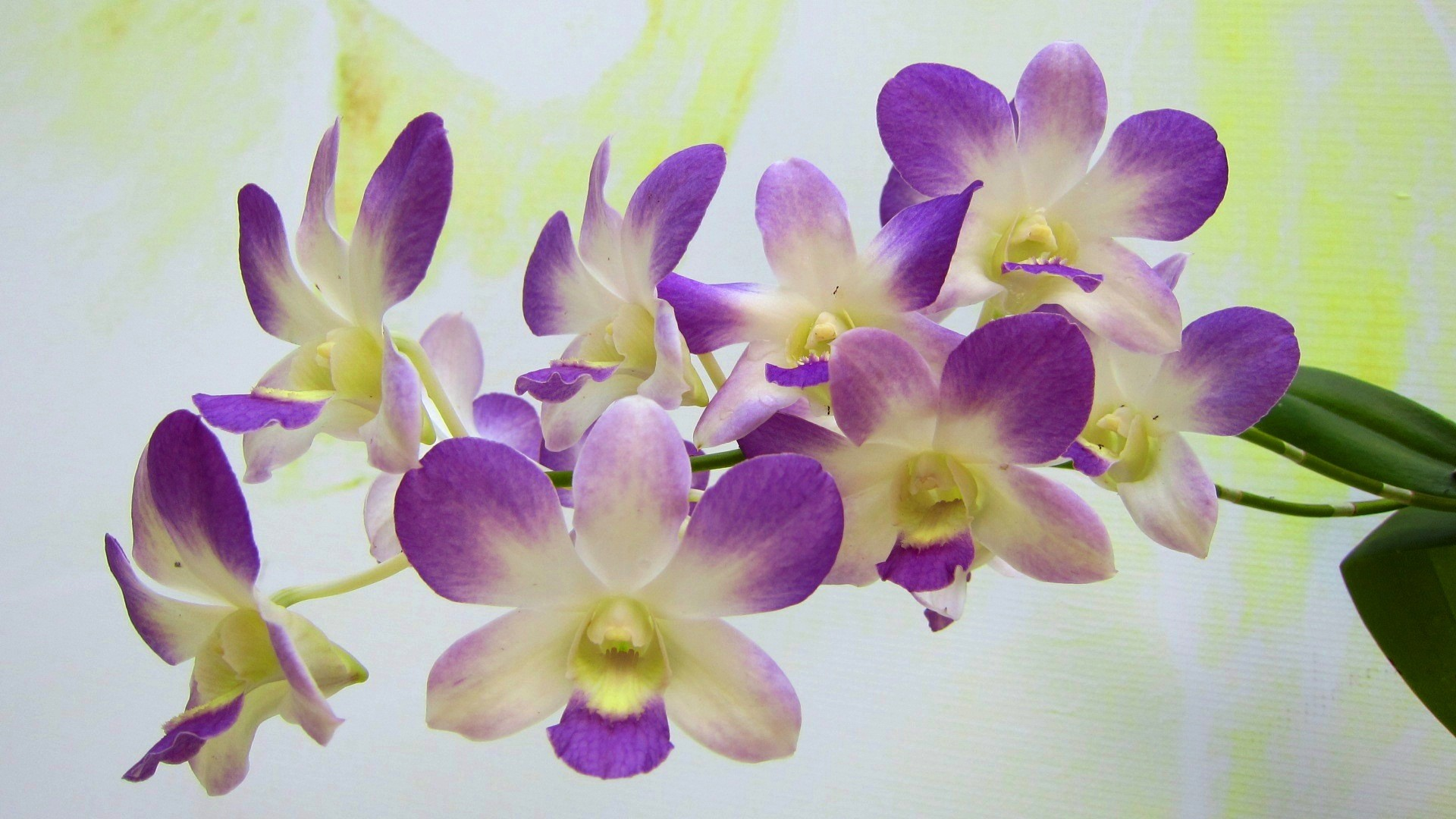 1920x1080 Attractive Green orchid Flowers wallpaper - beautiful desktop .