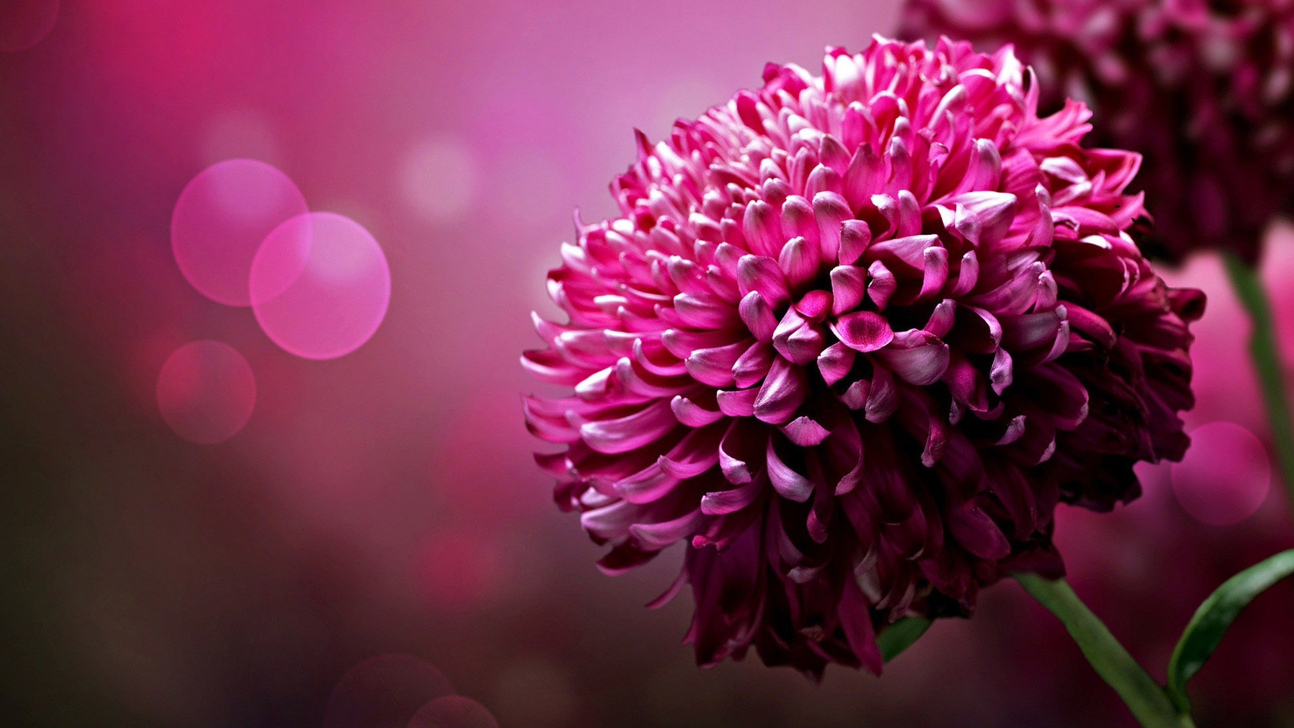 2560x1440 Pink Flowers HD Wallpapers - HD Wallpapers Inn