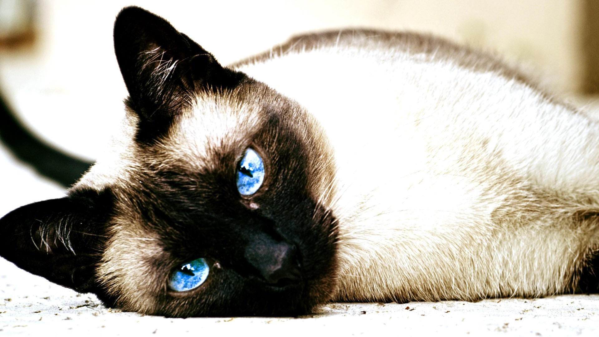 1920x1080 1680x1050 animals cat depth of field bricks siamese cats wallpaper and  background JPG 185 kB