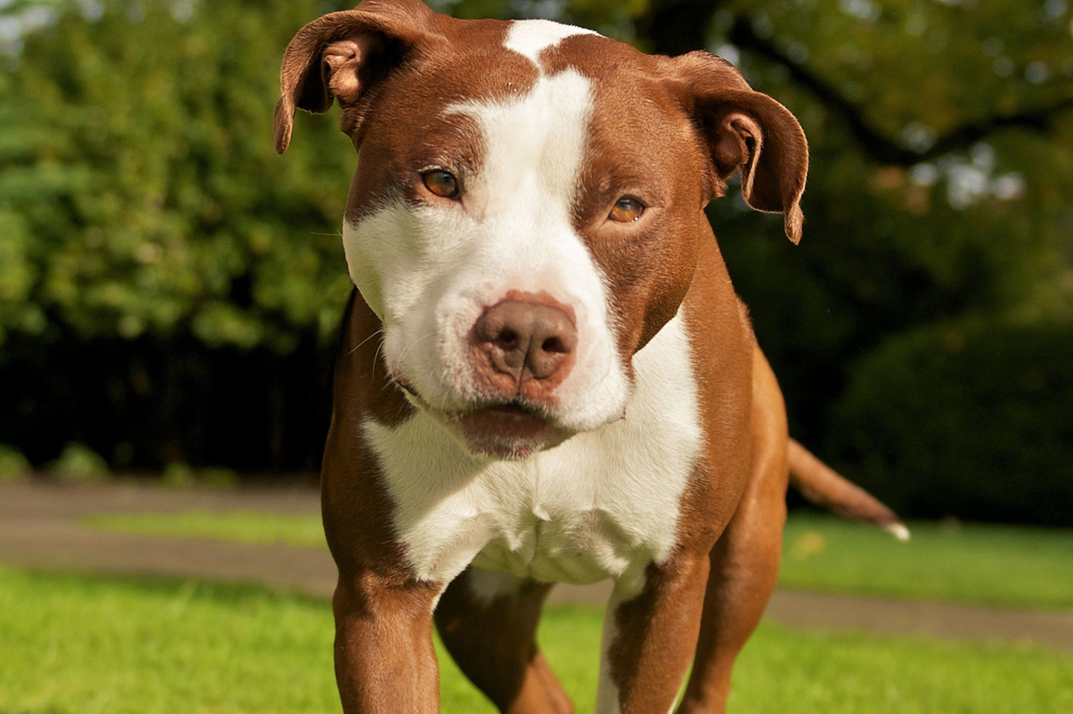 2197x1463 GL; Pitbull Dog 4091627 Wallpaper for Free | Special HQFX Wallpapers ...