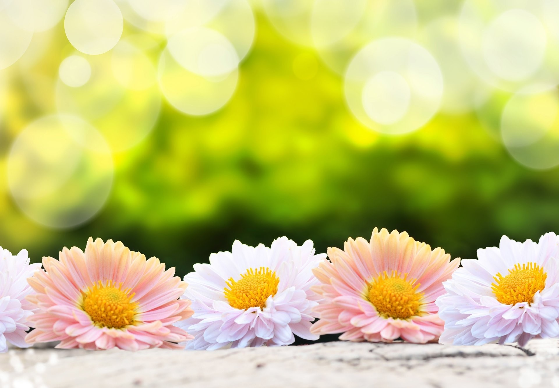1920x1333 flower flowers flower flower gerbera gerbera pink white green background  nature nature blur bokeh wallpaper.