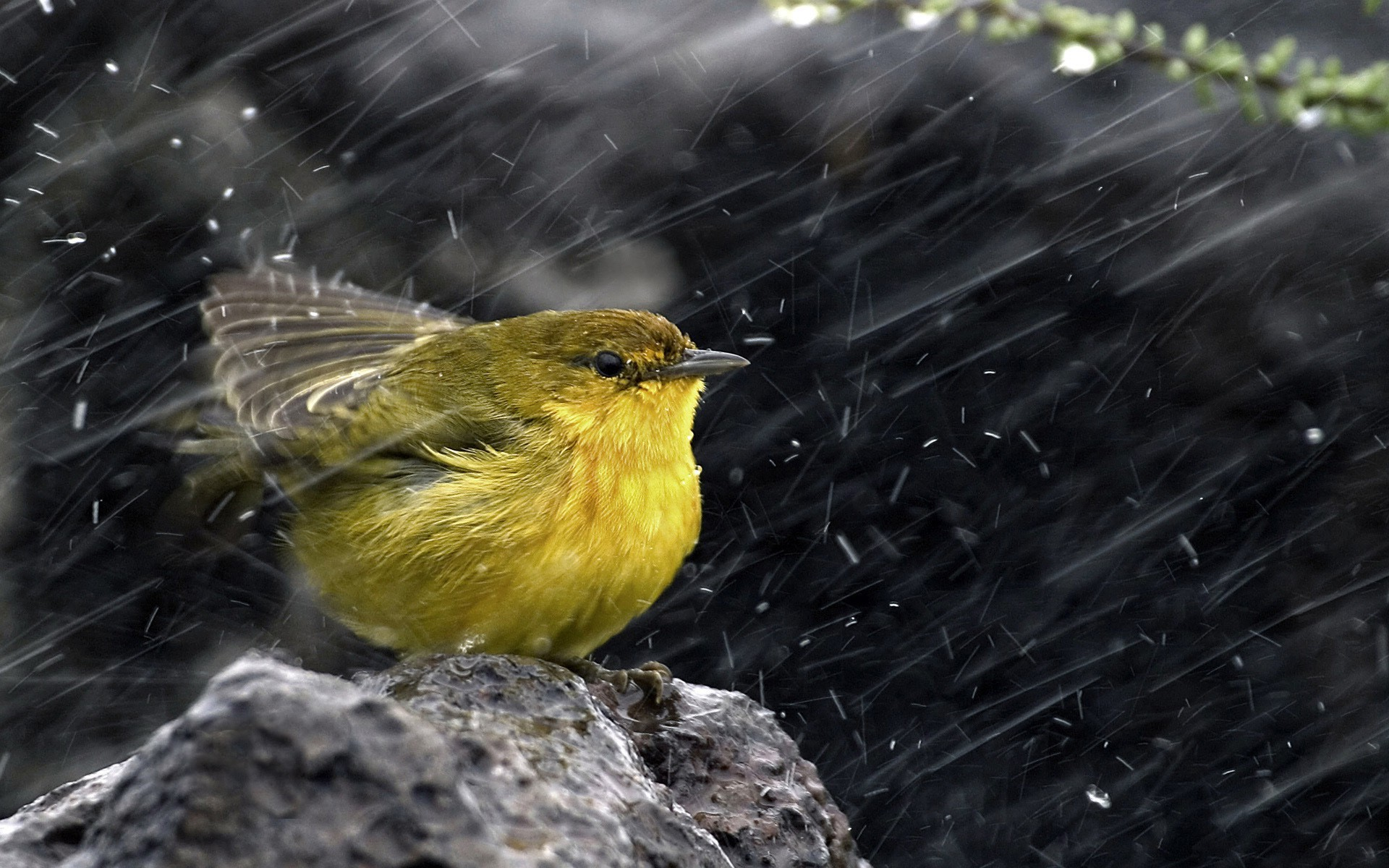 1920x1200 rain Bird wallpaper