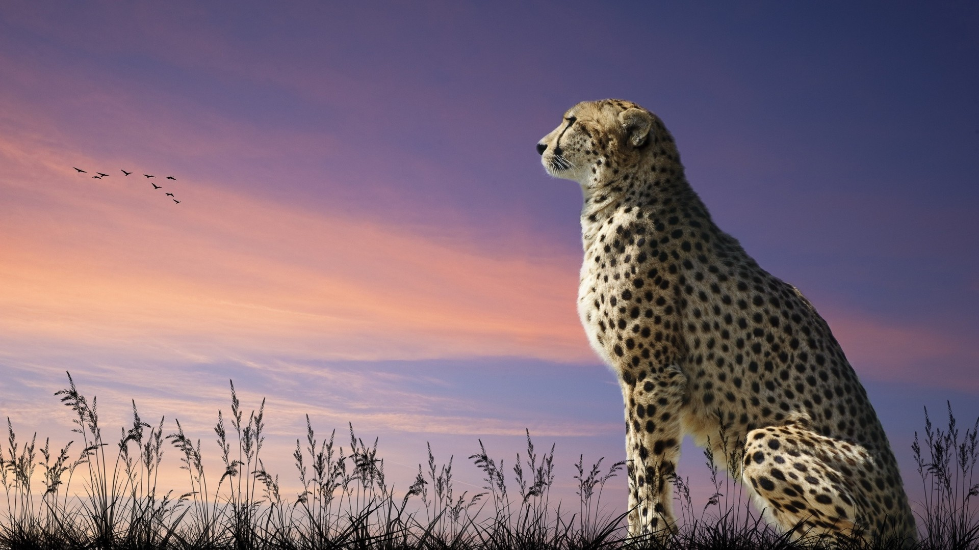 1920x1080 Animals  Full HD Wallpapers - 1080p Wallpapers | Full HD Wallpaper  leopard sunset field,