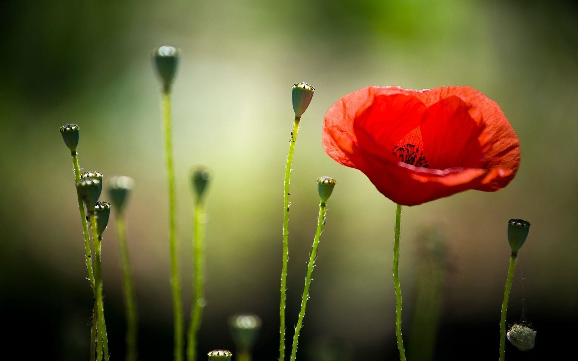 1920x1200 Poppy HD Wallpapers Free Download | HD Free Wallpapers Download