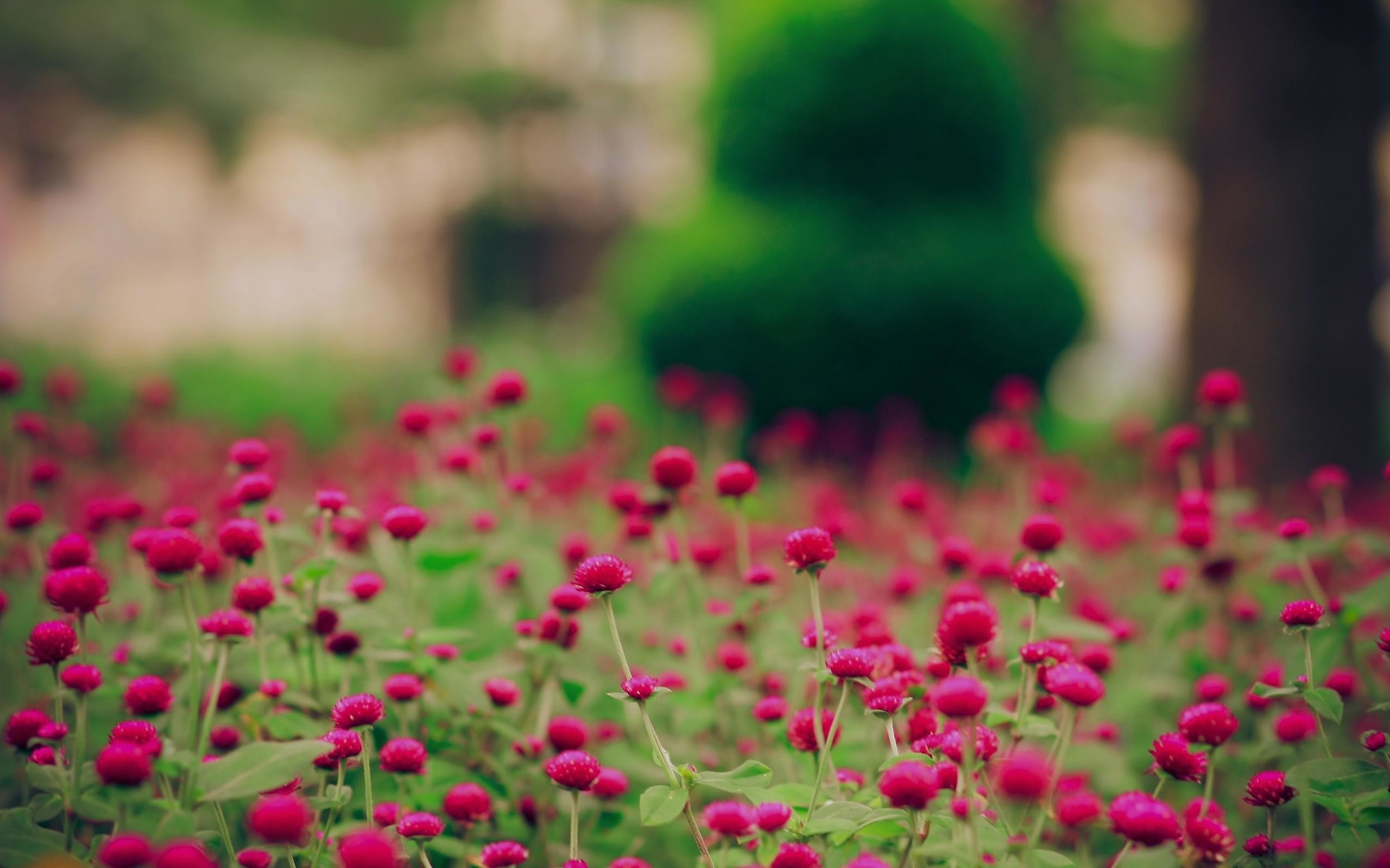 2560x1600 Download Spring Magenta Flowers Free Desktop Wallpaper