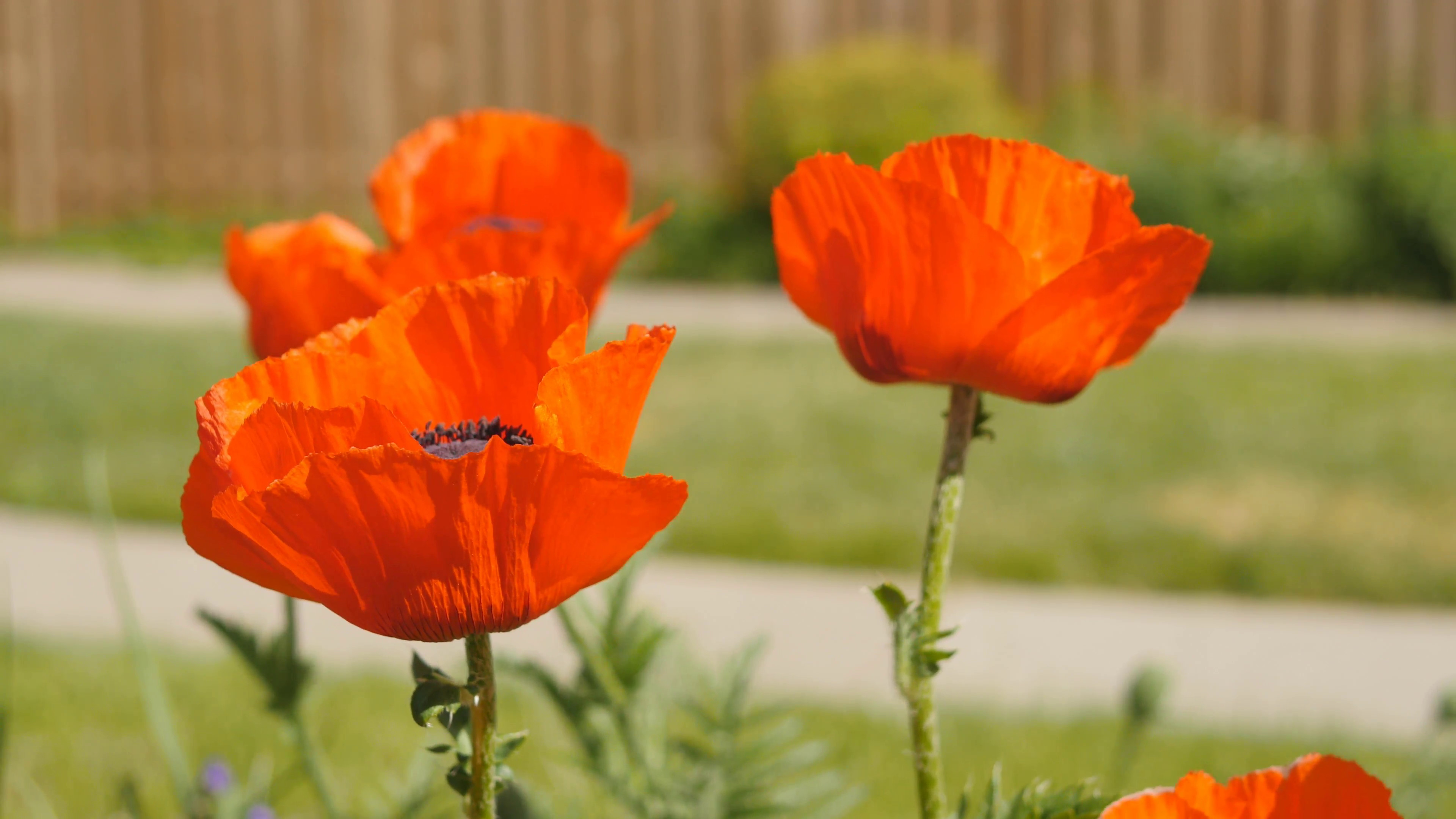3840x2160 Poppy in sharp focus with defocused poppies in the background. East York,  Ontario, Canada. Stock Video Footage - Storyblocks Video