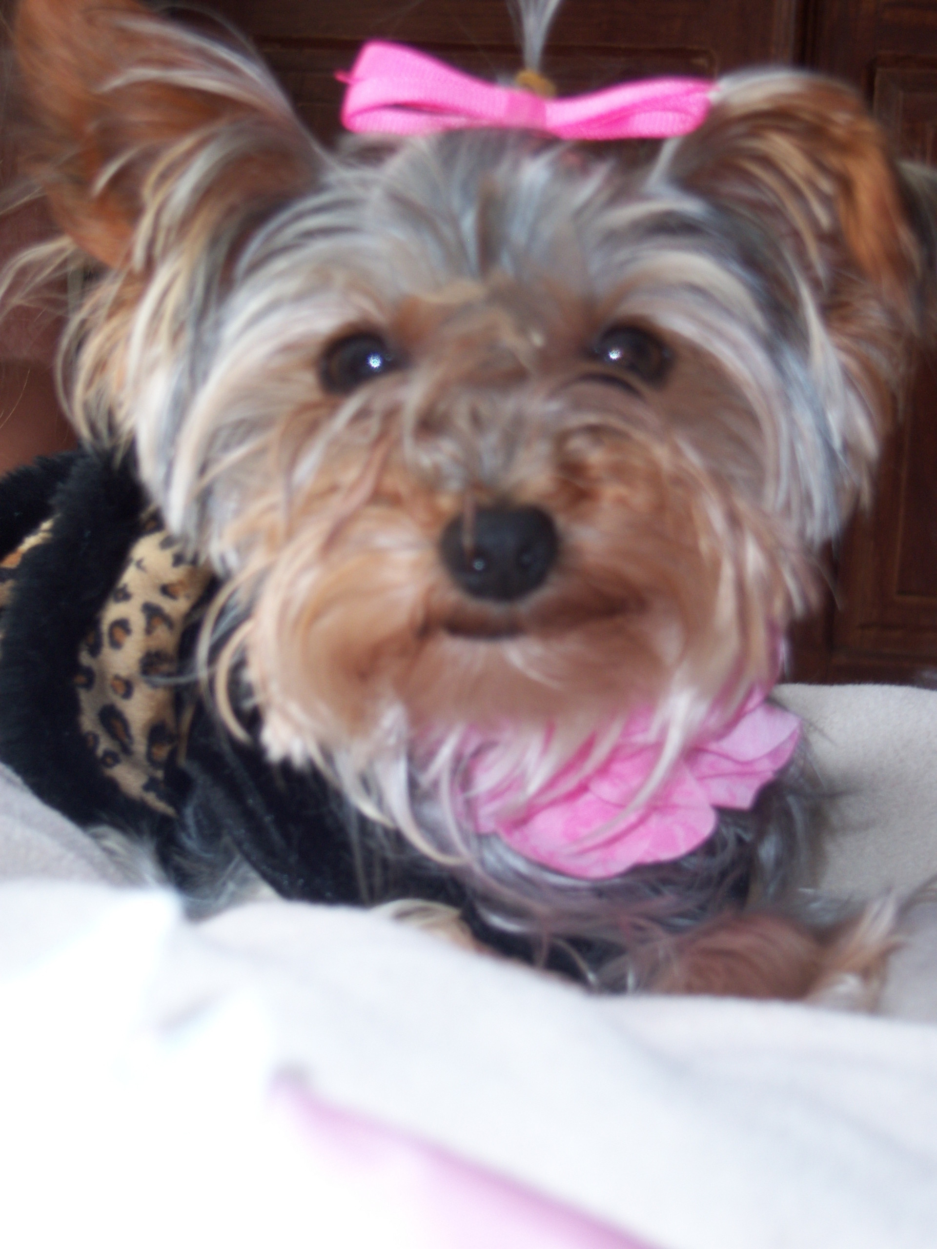 1920x2560 Yorkies images Lizzy Sue. My yorkie! HD wallpaper and background photos