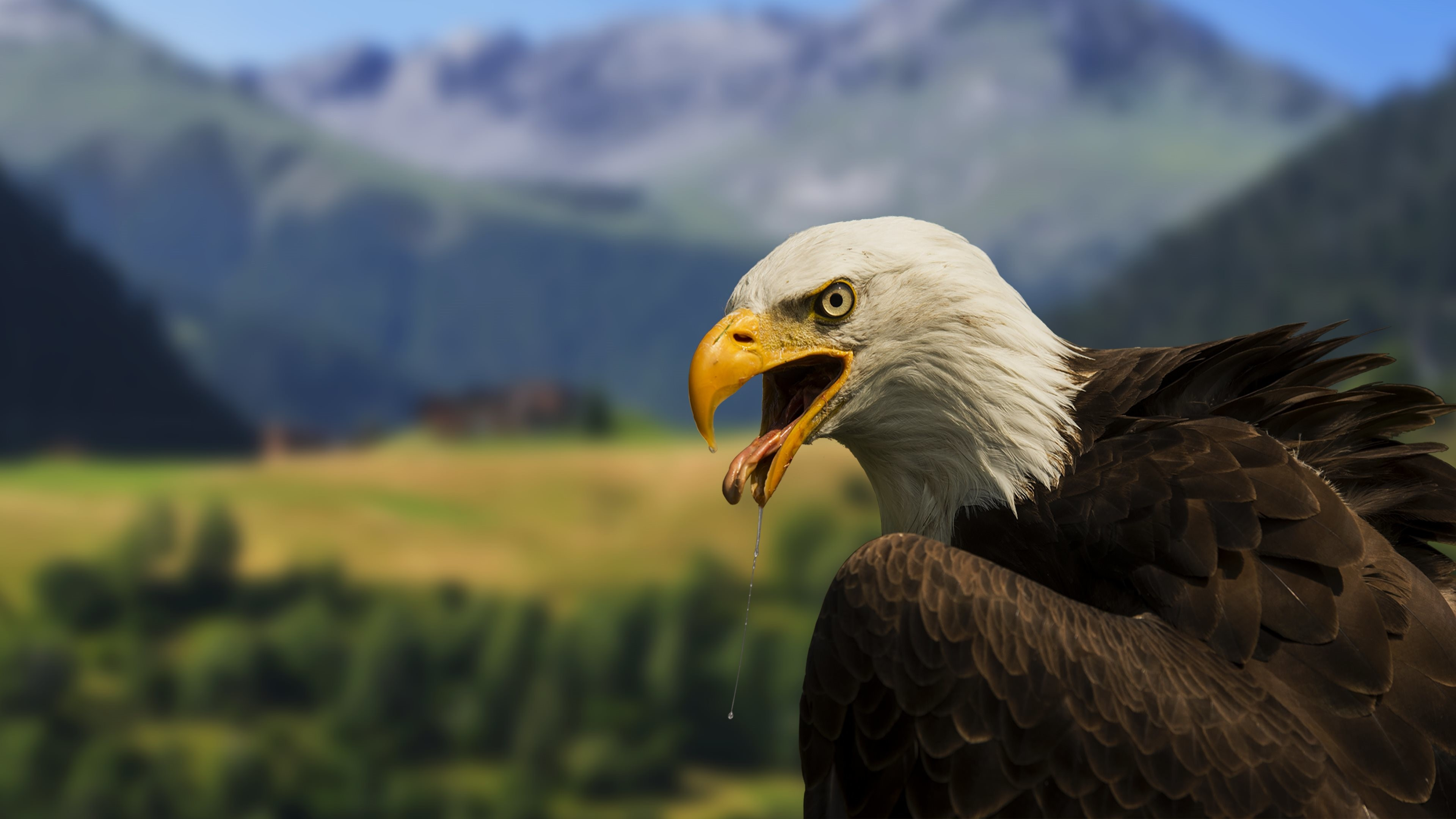 3840x2160 Bald Eagle – 4K Wallpaper :: Full (1080p) & Ultra .