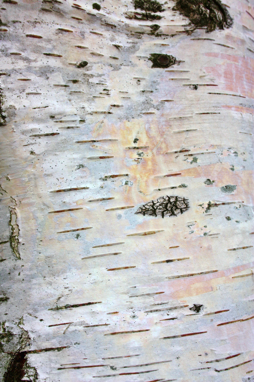 Birch Bark Wallpaper 33 Images