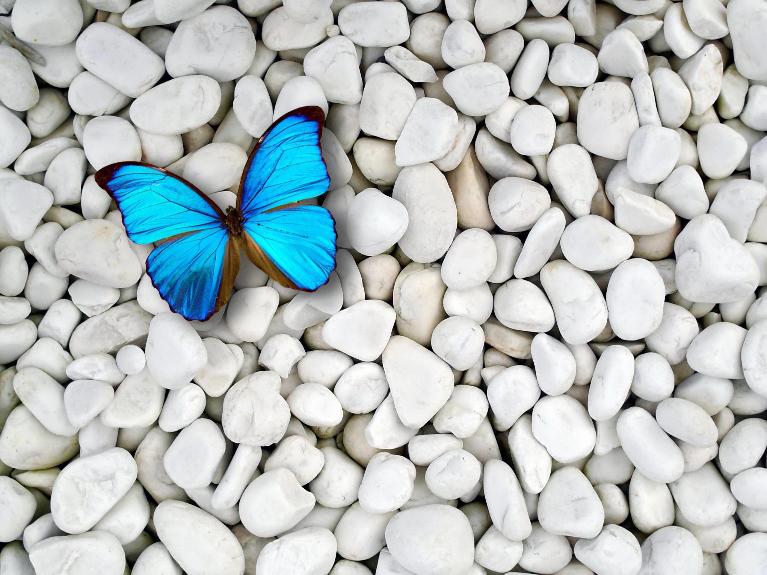 2560x1920 Images For > Blue Butterfly Desktop Wallpaper