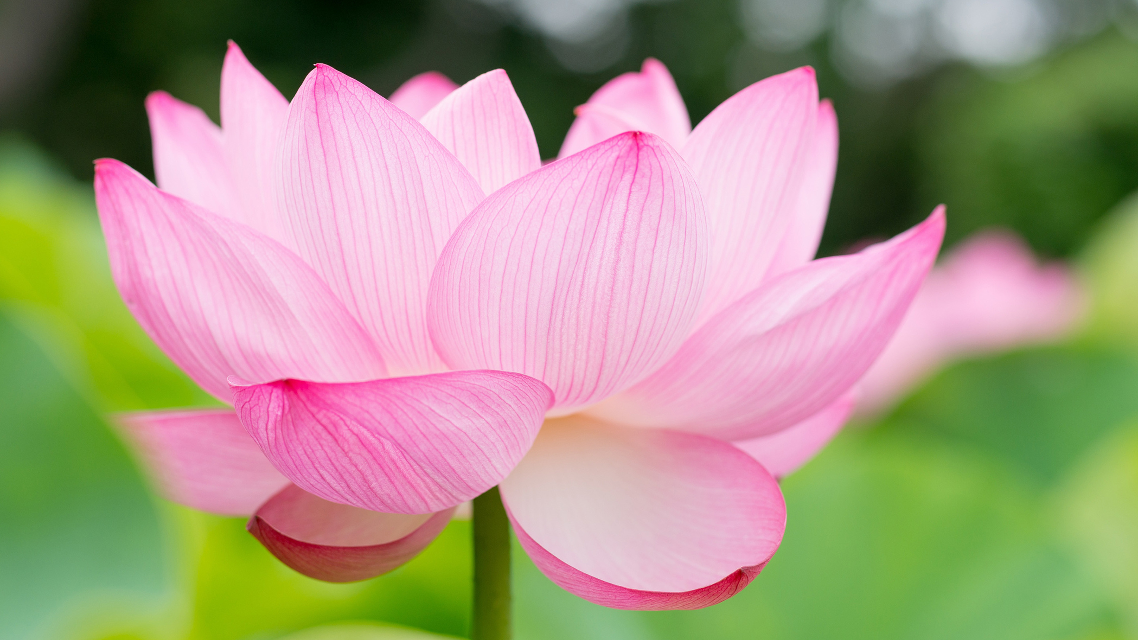 Lotus Flower Background 54 Images
