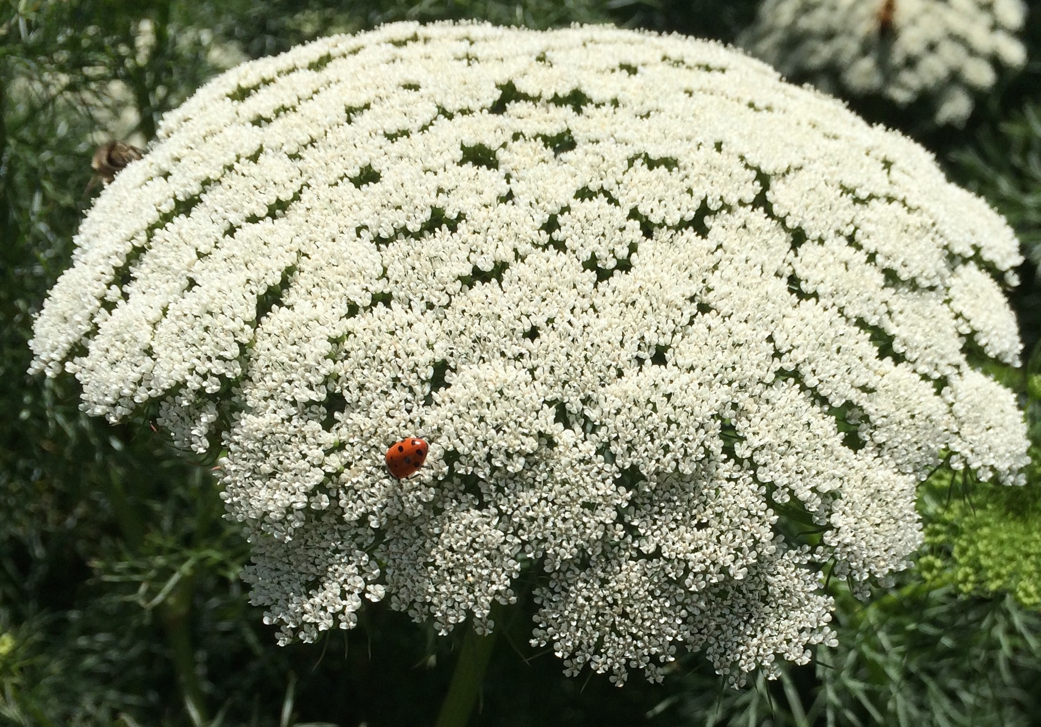 2098x1466 Queen Annes Lace Background