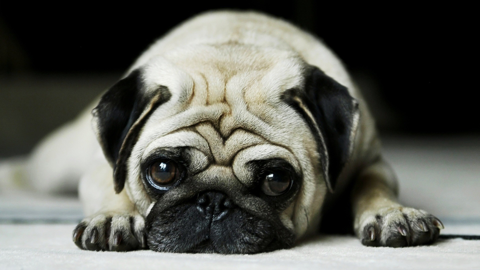 1920x1080 Pug · beautiful pug dog hd wallpapers ...
