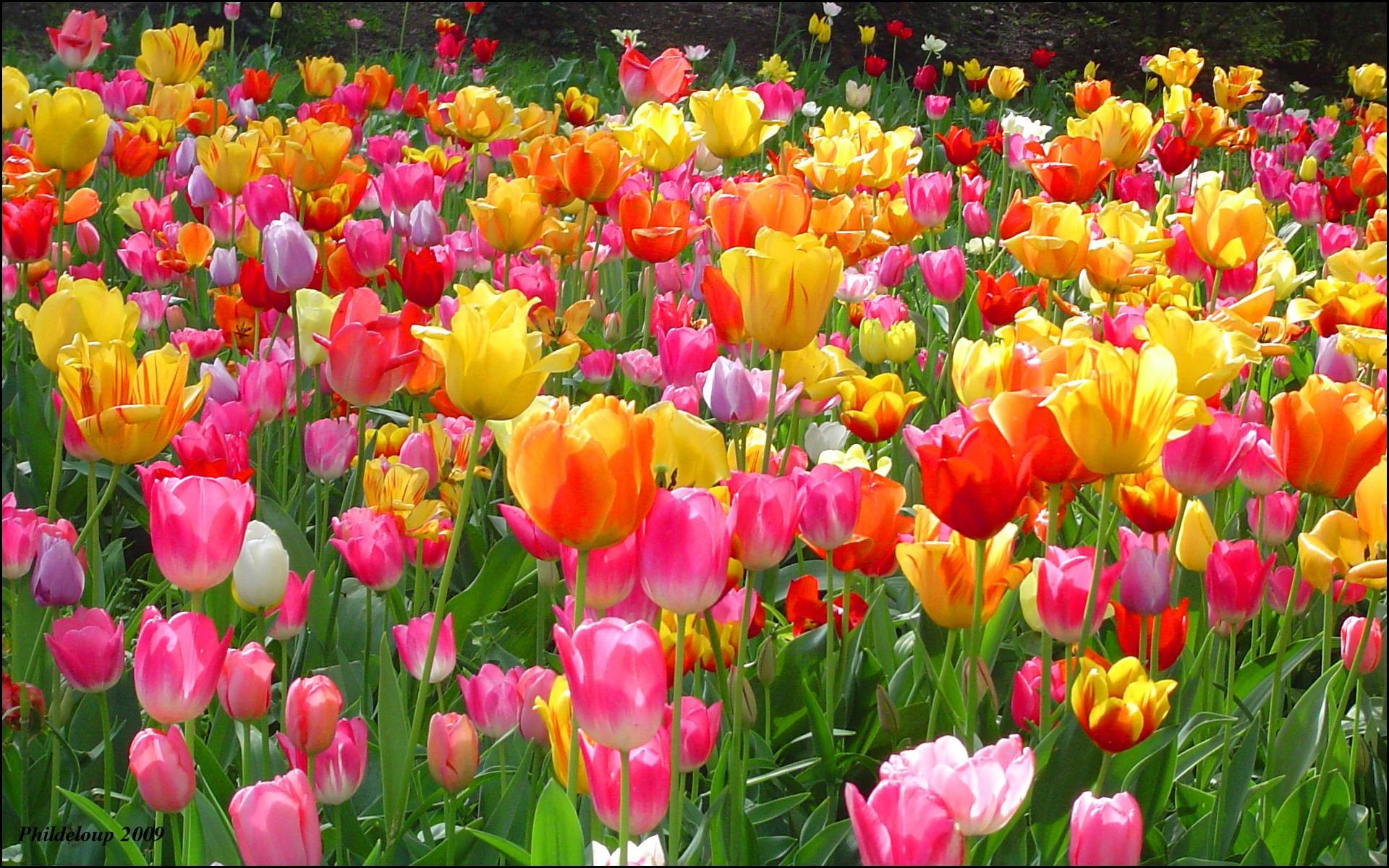 1920x1200 Tulip Wallpaper Backgrounds | Best Free Wallpaper