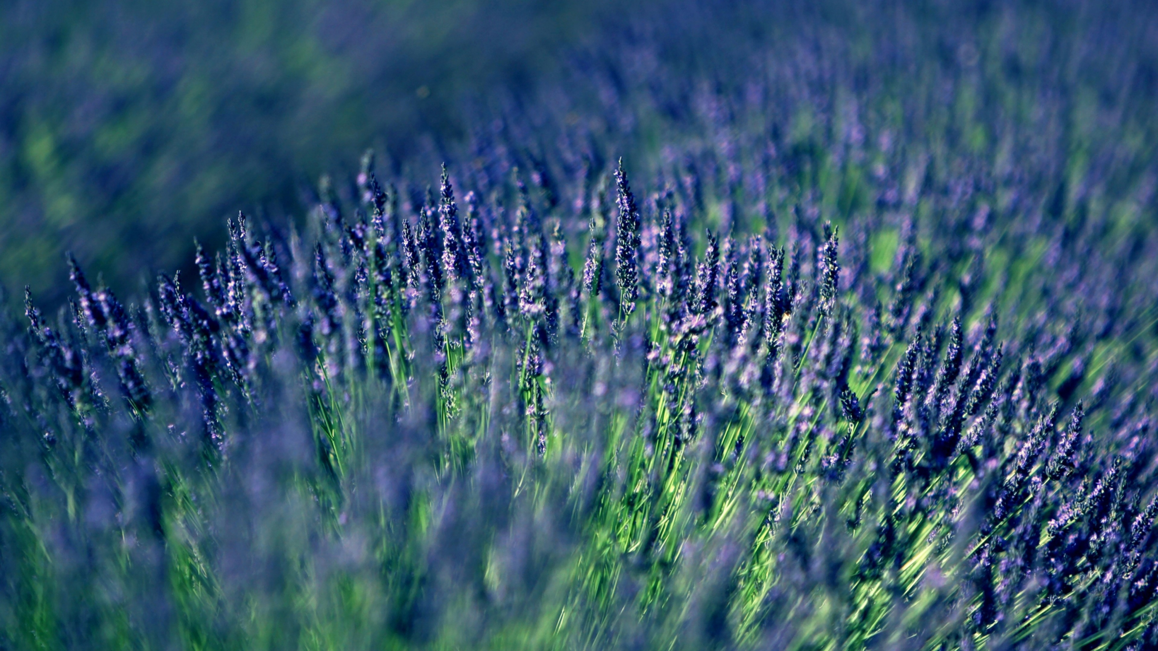 3840x2160  Wallpaper lavender, field, blur
