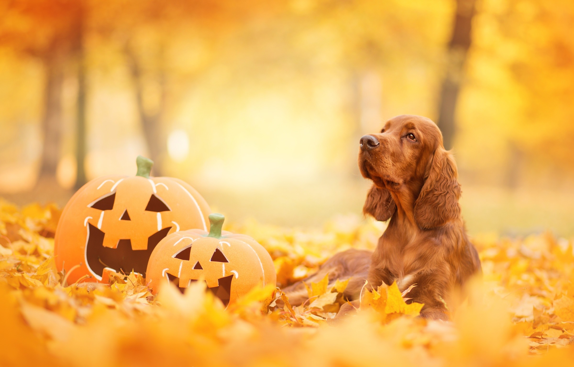 2400x1537 Animal - Cocker Spaniel Fall Pumpkin Spaniel Dog Pet Leaf Depth Of Field  Wallpaper