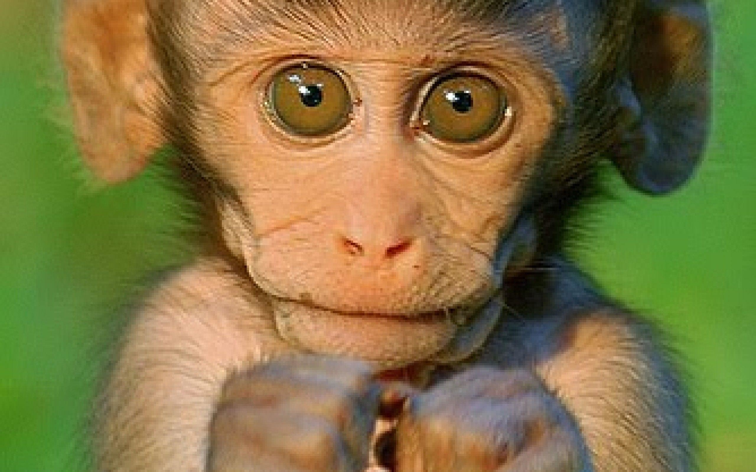 2560x1600  Wallpapers For > Cute Monkey Wallpapers
