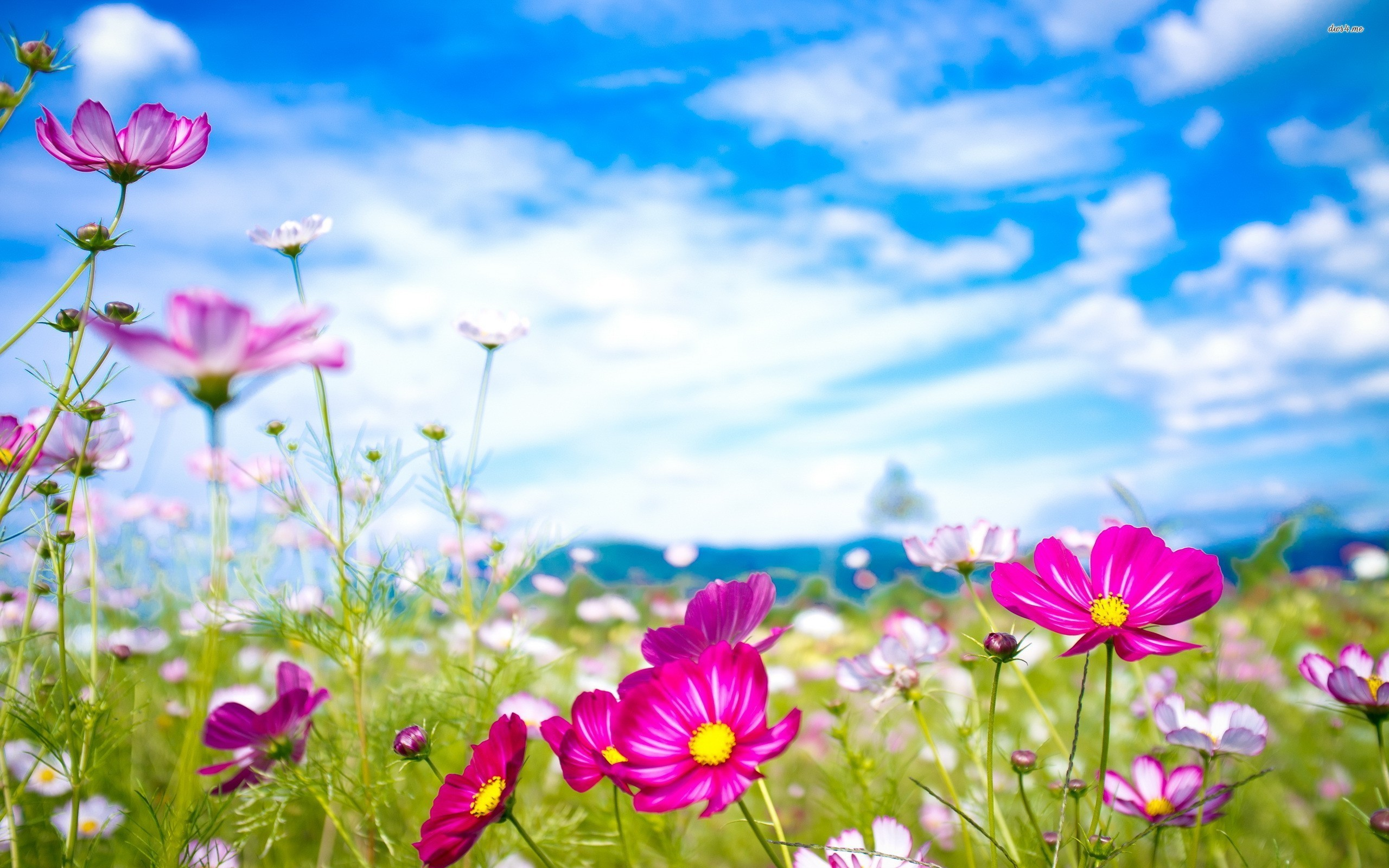 2560x1600 ... Colorful Cosmos Flowers 2560×1600 Flower Wallpaper Flowers Wallpapers  ...