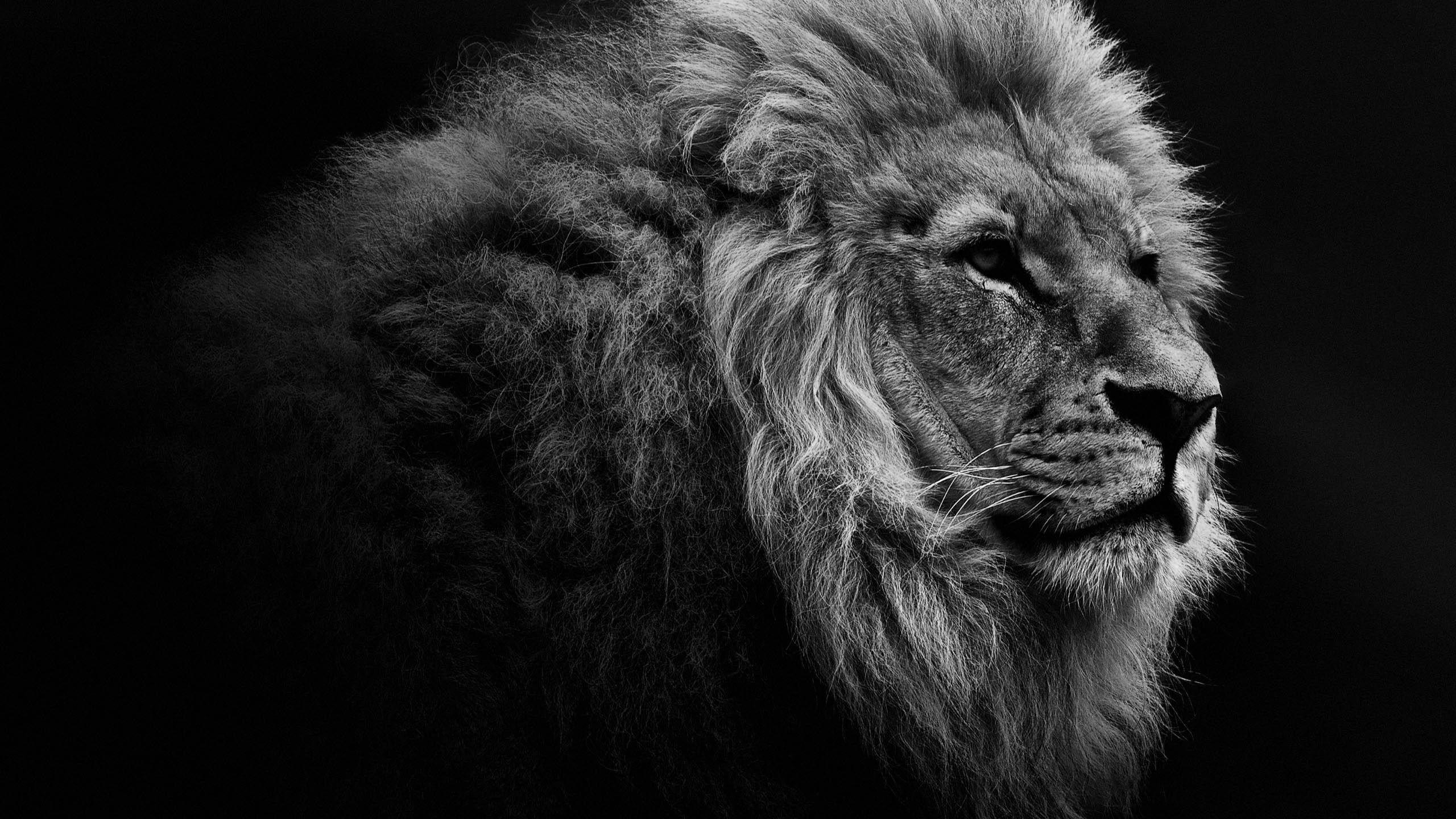 Lion Desktop Backgrounds 75 Images