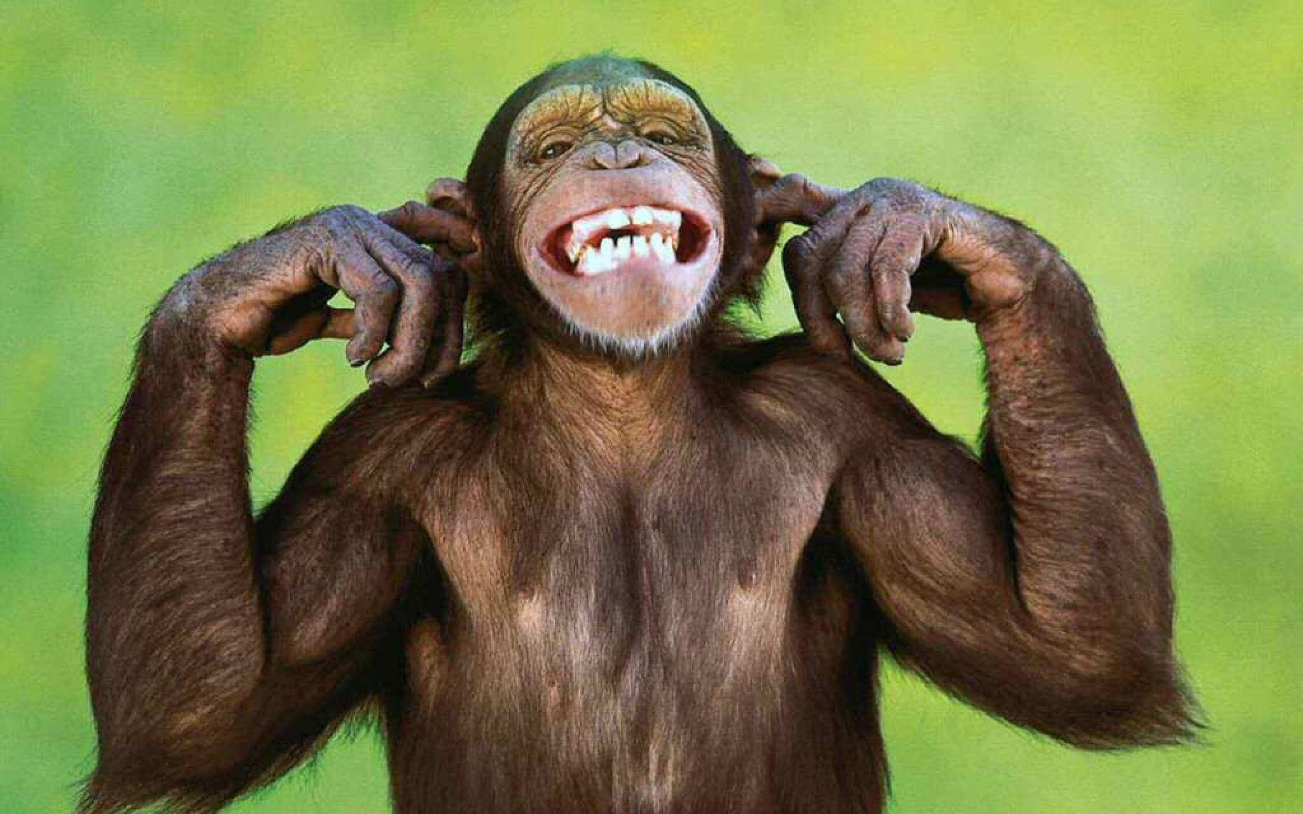 2560x1600  Funny Monkey Wallpaper | Funny Monkey Pictures | Cool Wallpapers