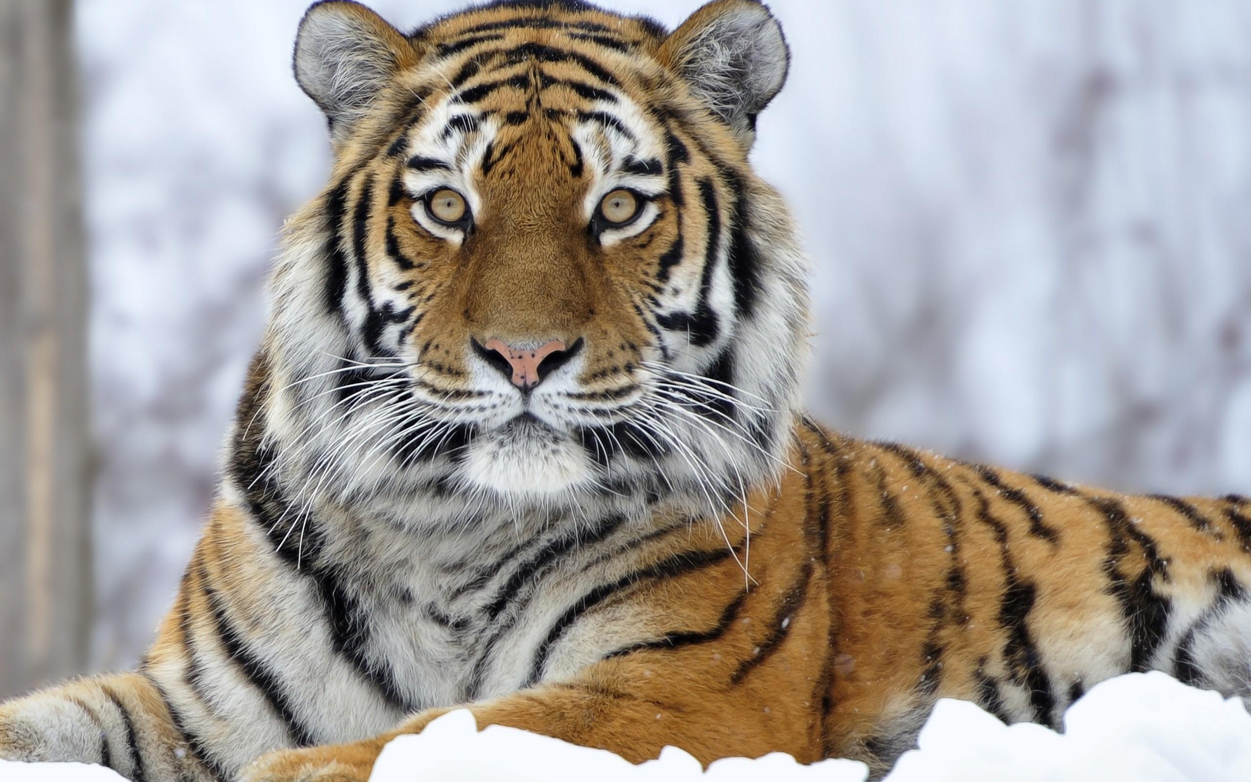 Siberian Tiger Wallpaper 61 Images