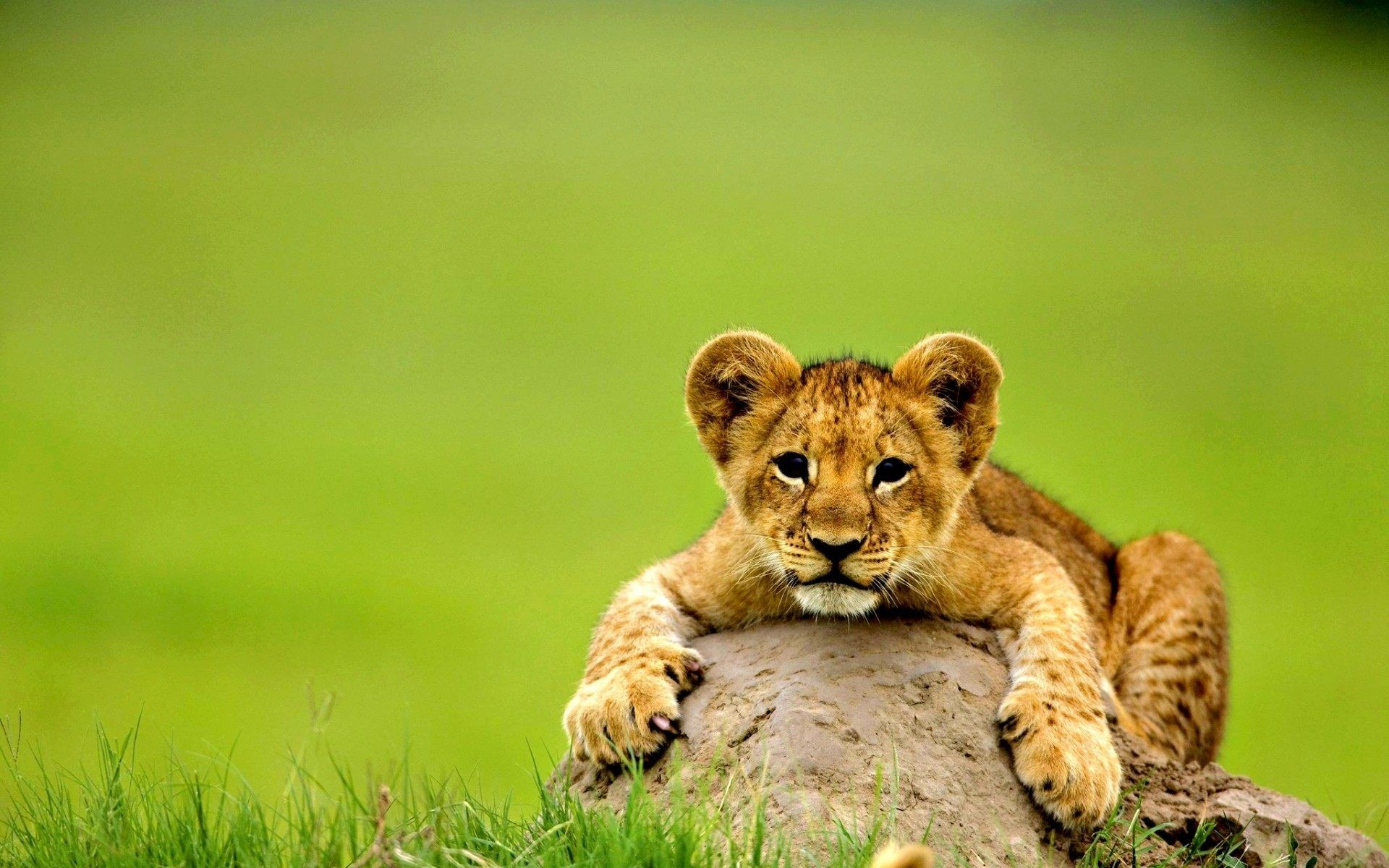 1920x1200 Fearless Lion Cub Seating on Stone Image