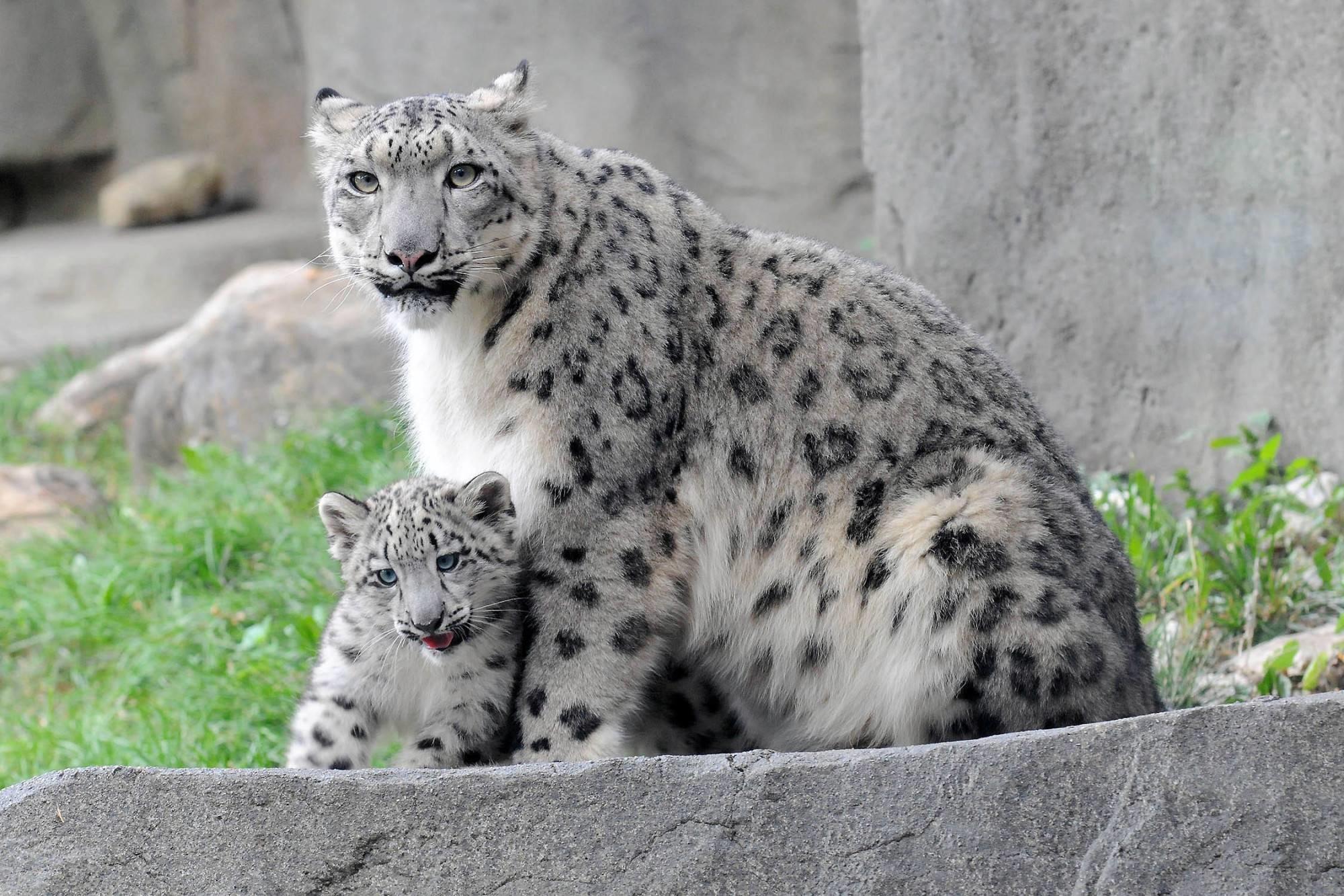 Snow Leopard Wallpaper (72+ Images