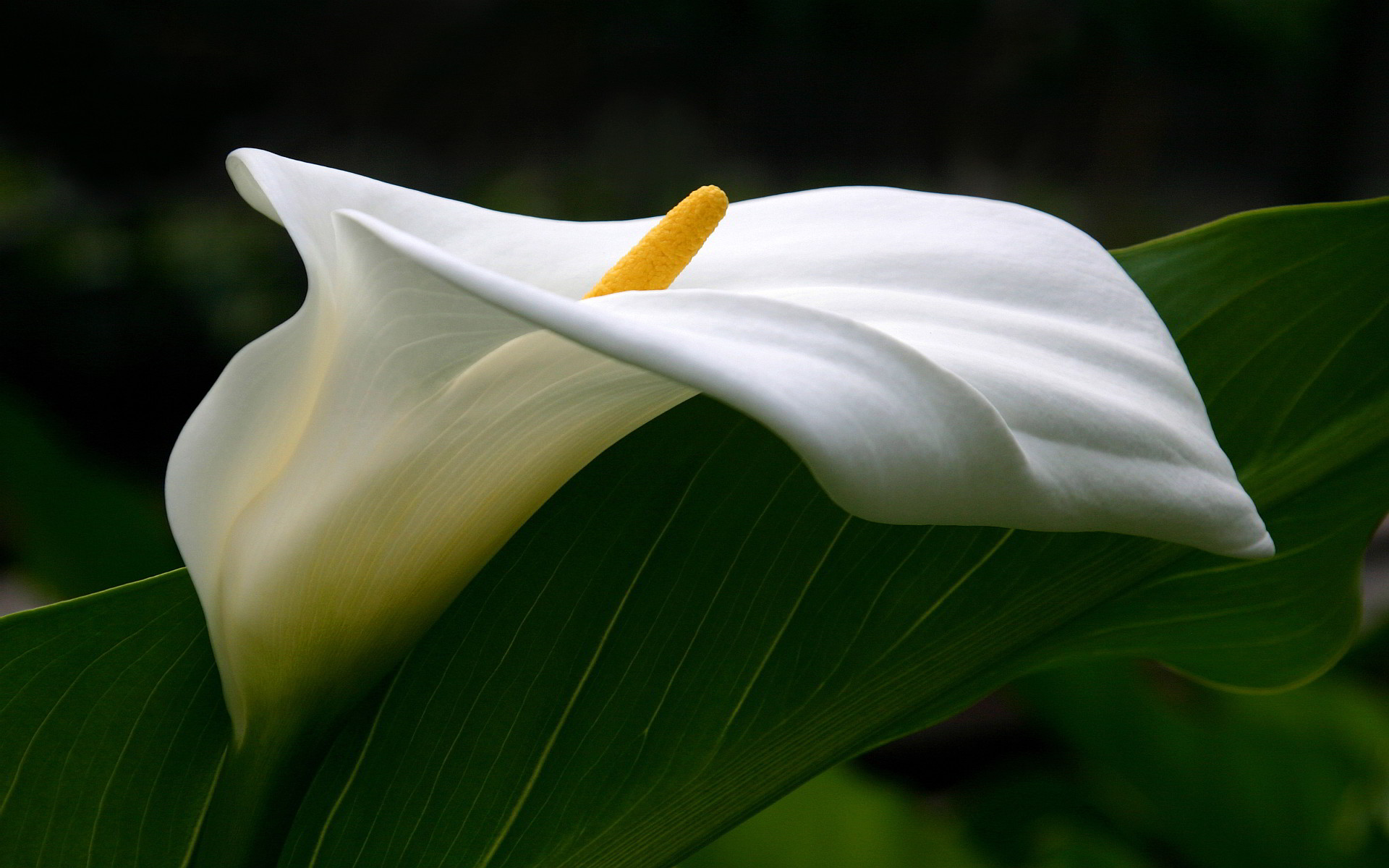1920x1200 Calla Lilies Images 21029