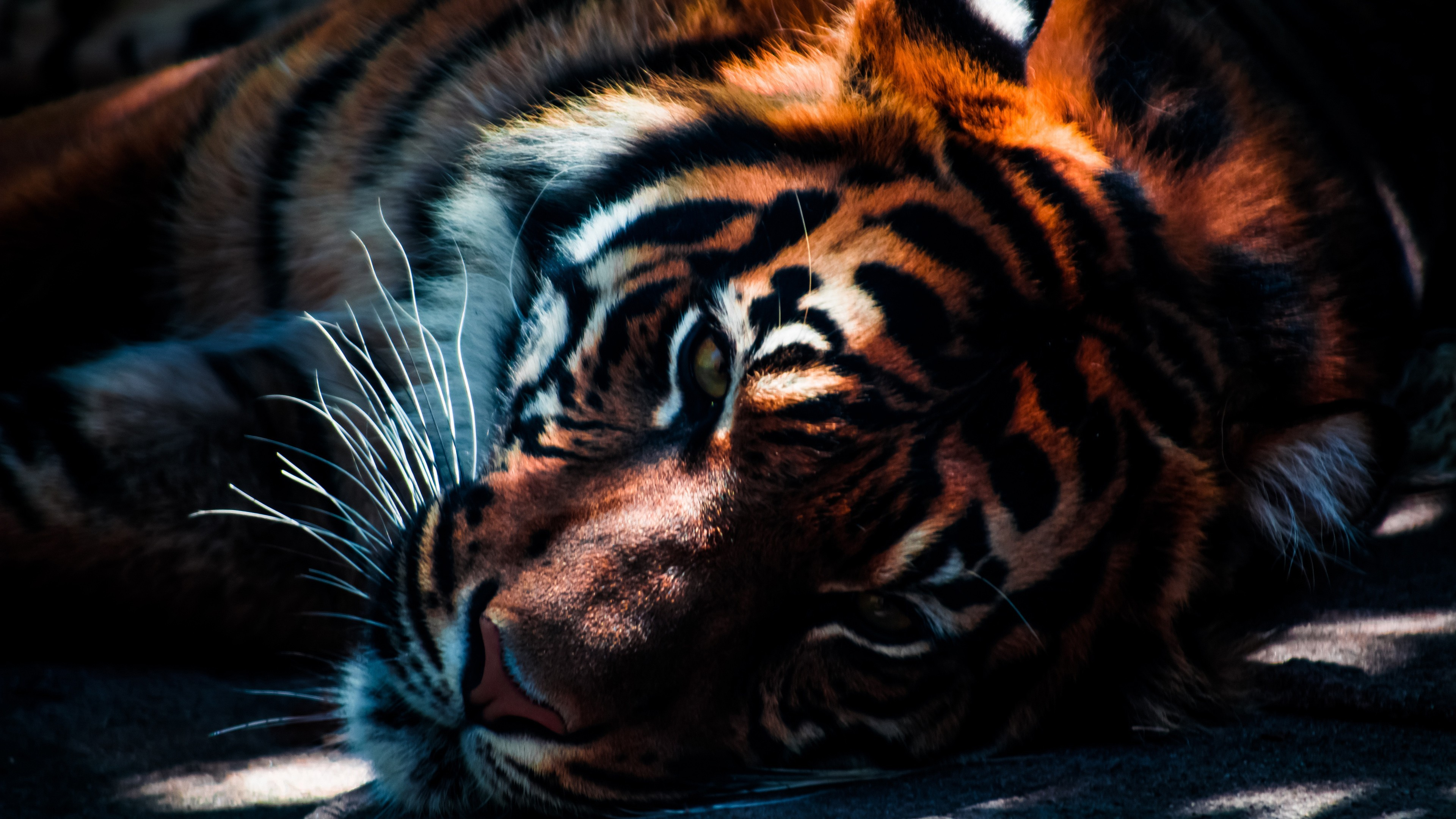 3840x2160 ... Tiger Closeup Wallpapers HD Wallpapers