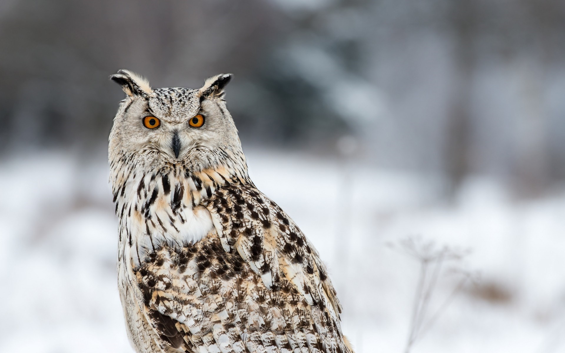 1920x1200 Related Wallpapers from Basset Hound. Winter Siberian Eagle Owl Bird