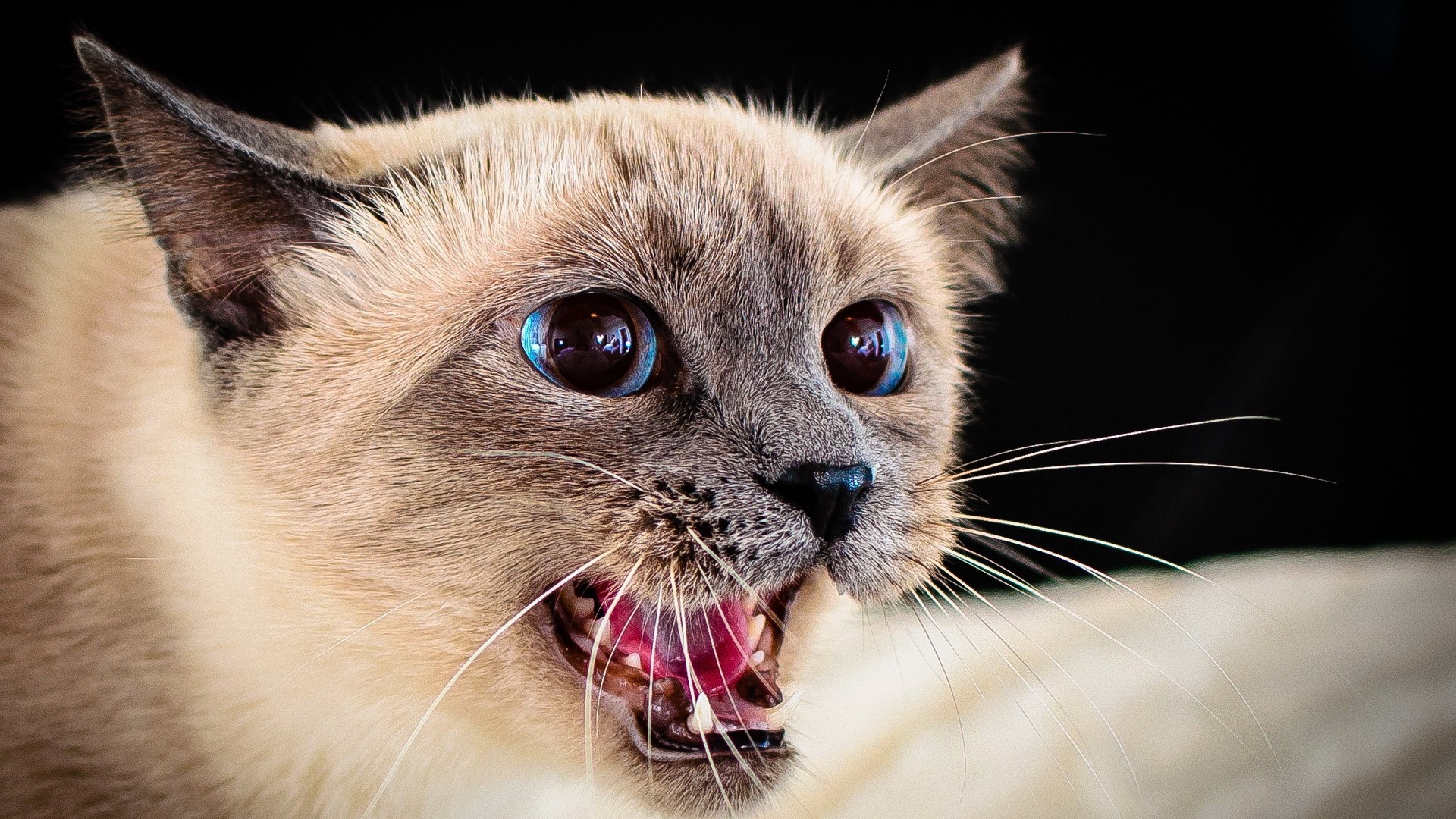 1920x1080  Wallpaper siamese cat, eyes, blue-eyed, spotted