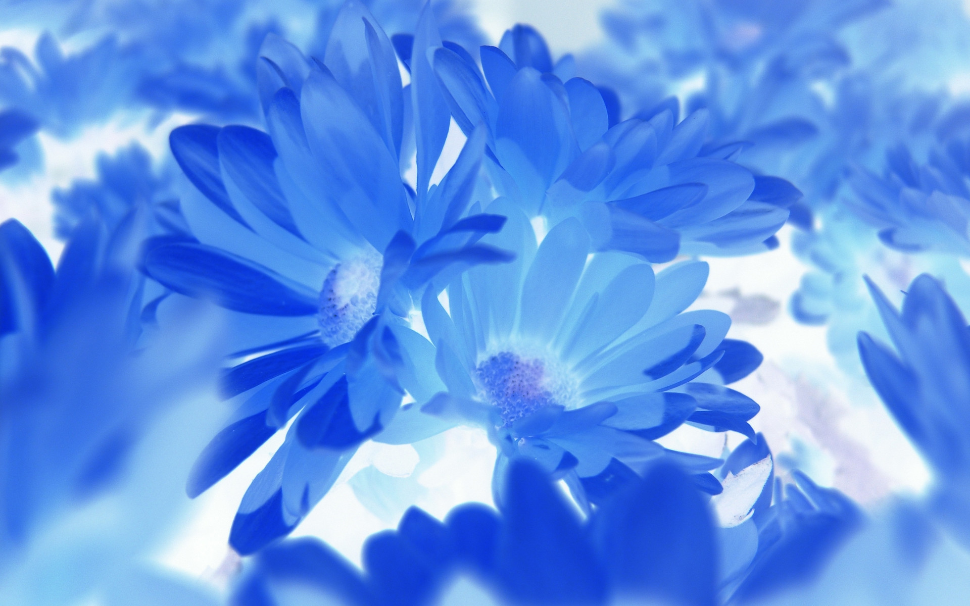1920x1200 Blue Flower Wallpapers Hd Resolution