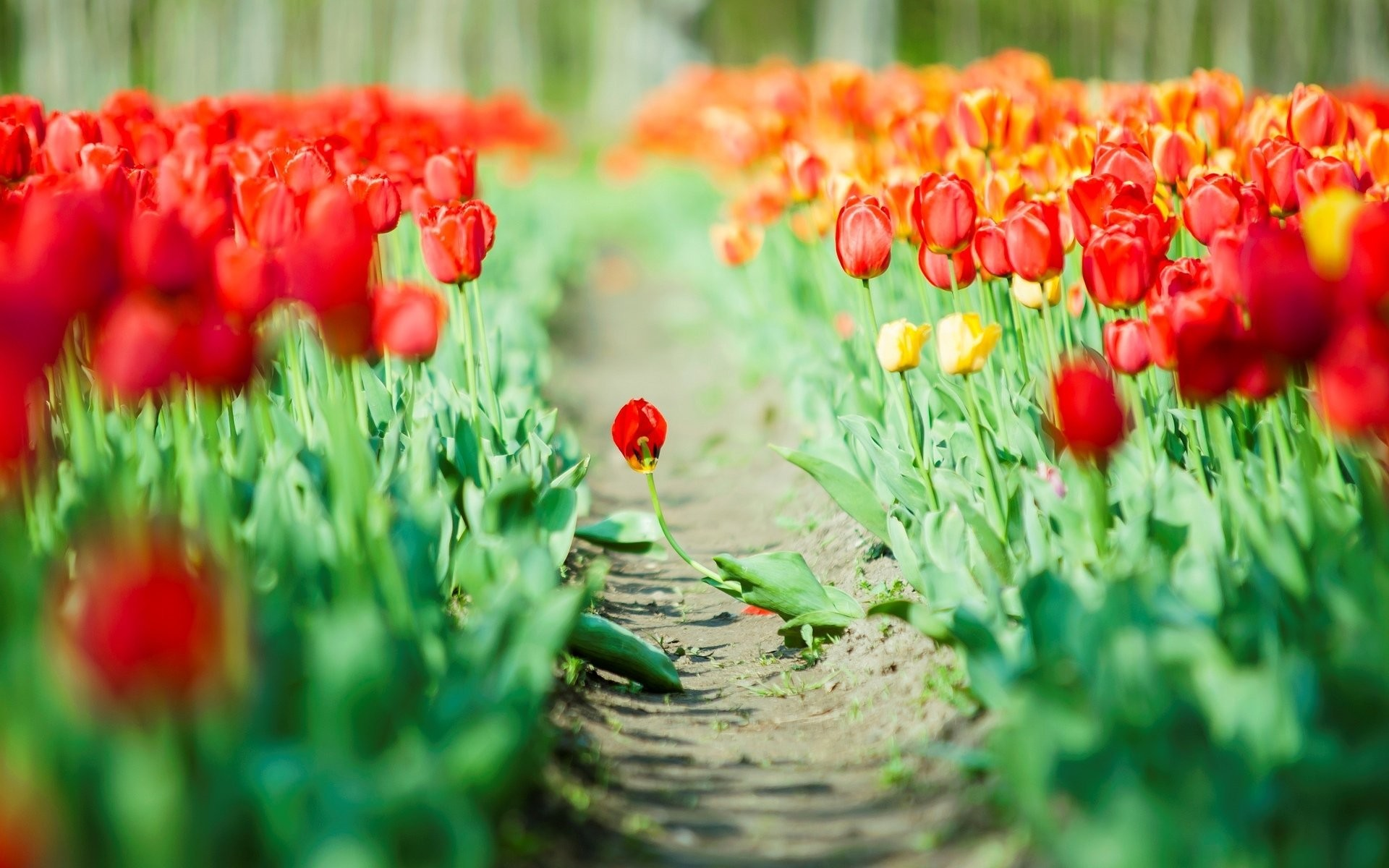1920x1200 flower tulips red green leaves flowers background wallpaper widescreen full  screen widescreen hd wallpapers background wallpaper