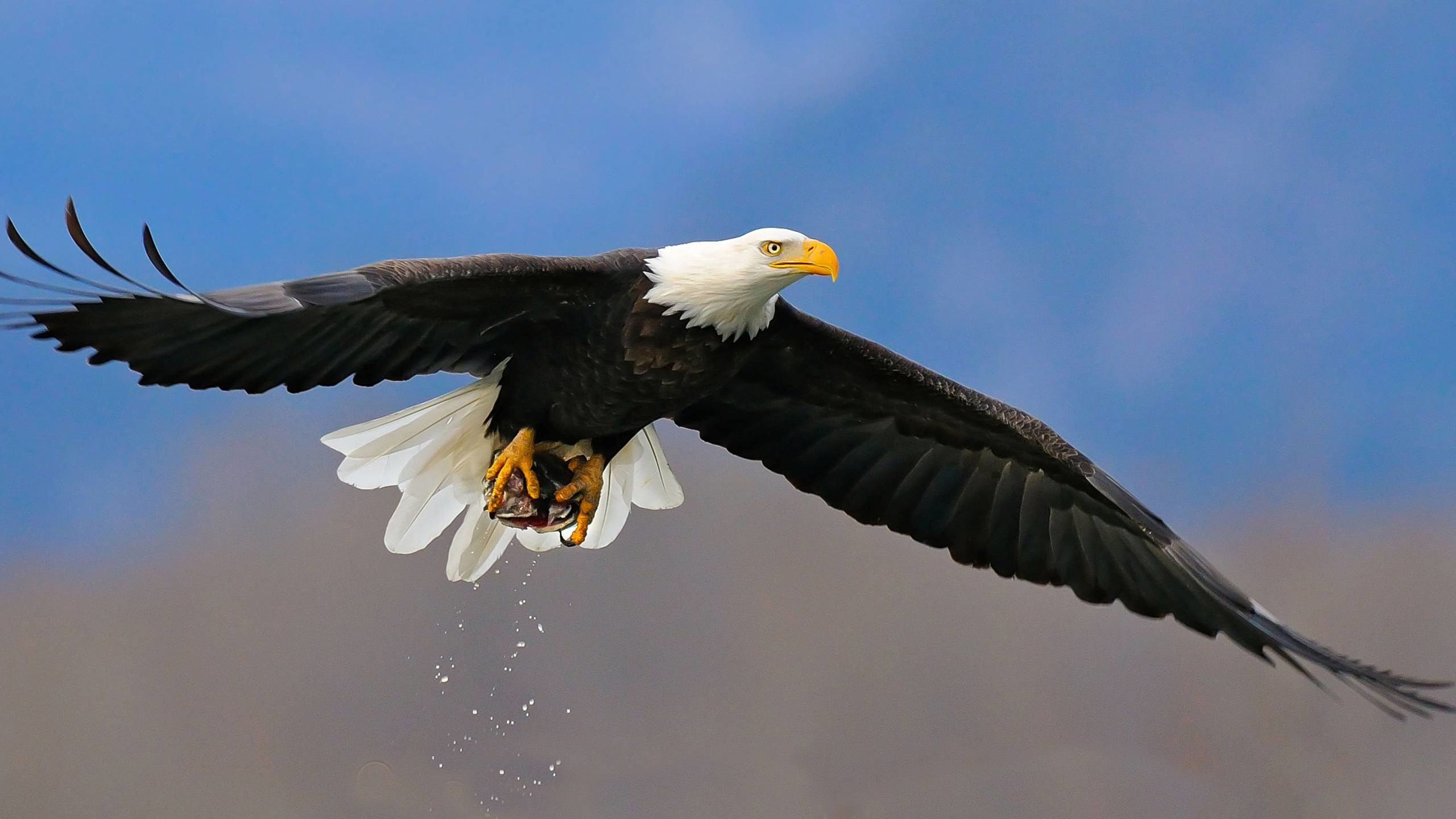 2560x1440 Bald Eagle The Beautiful Bird HD Wallpaper