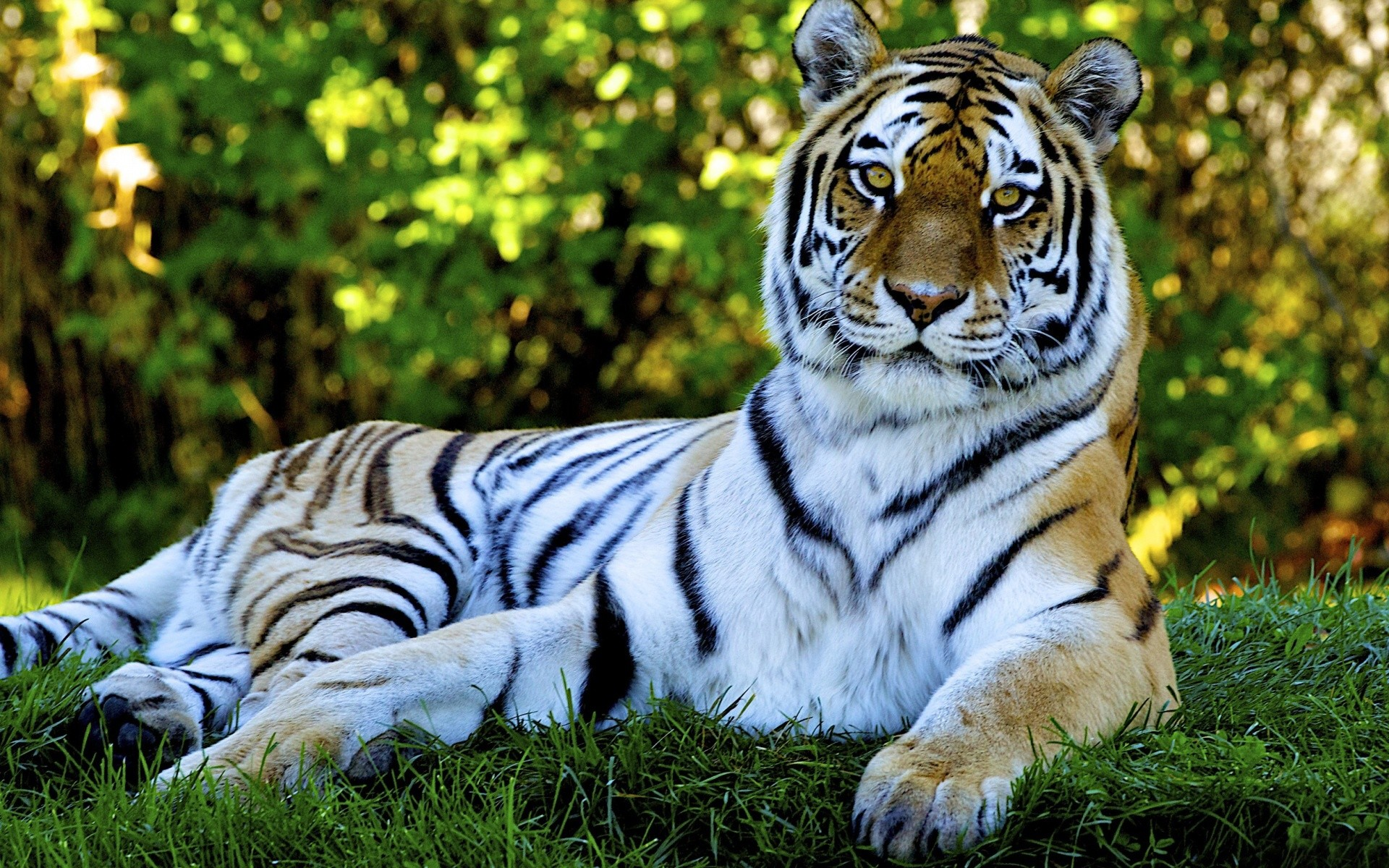 1920x1200 Animated Nature Wallpapers For Desktop - Tiger desktop backgrounds - Tiger desktop  backgrounds Wallpaper
