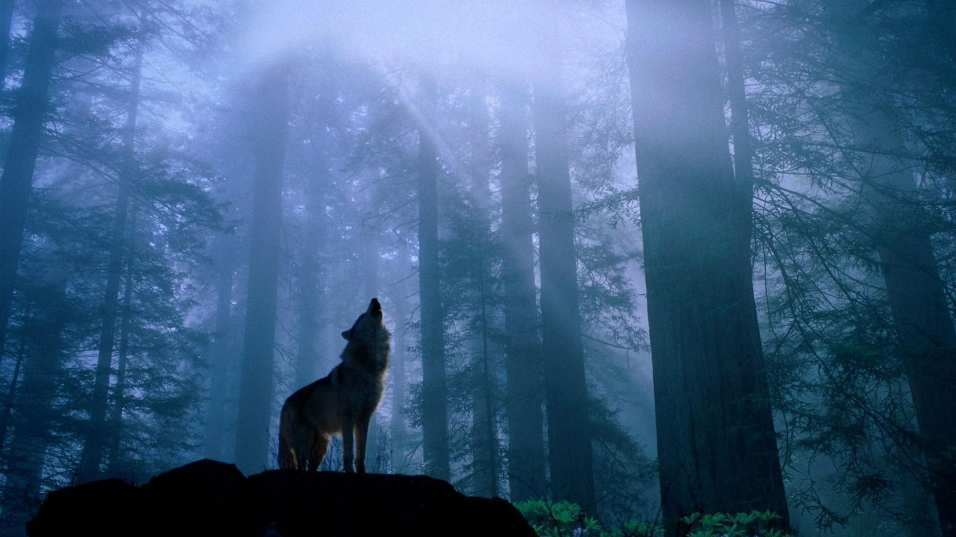 1920x1080 86 best images about <b>Indian wolf</b> poems on Pinterest