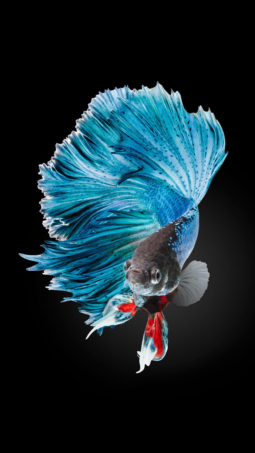 1080x1920 Betta Fish Wallpaper iPhone 6 And iPhone 6s HD