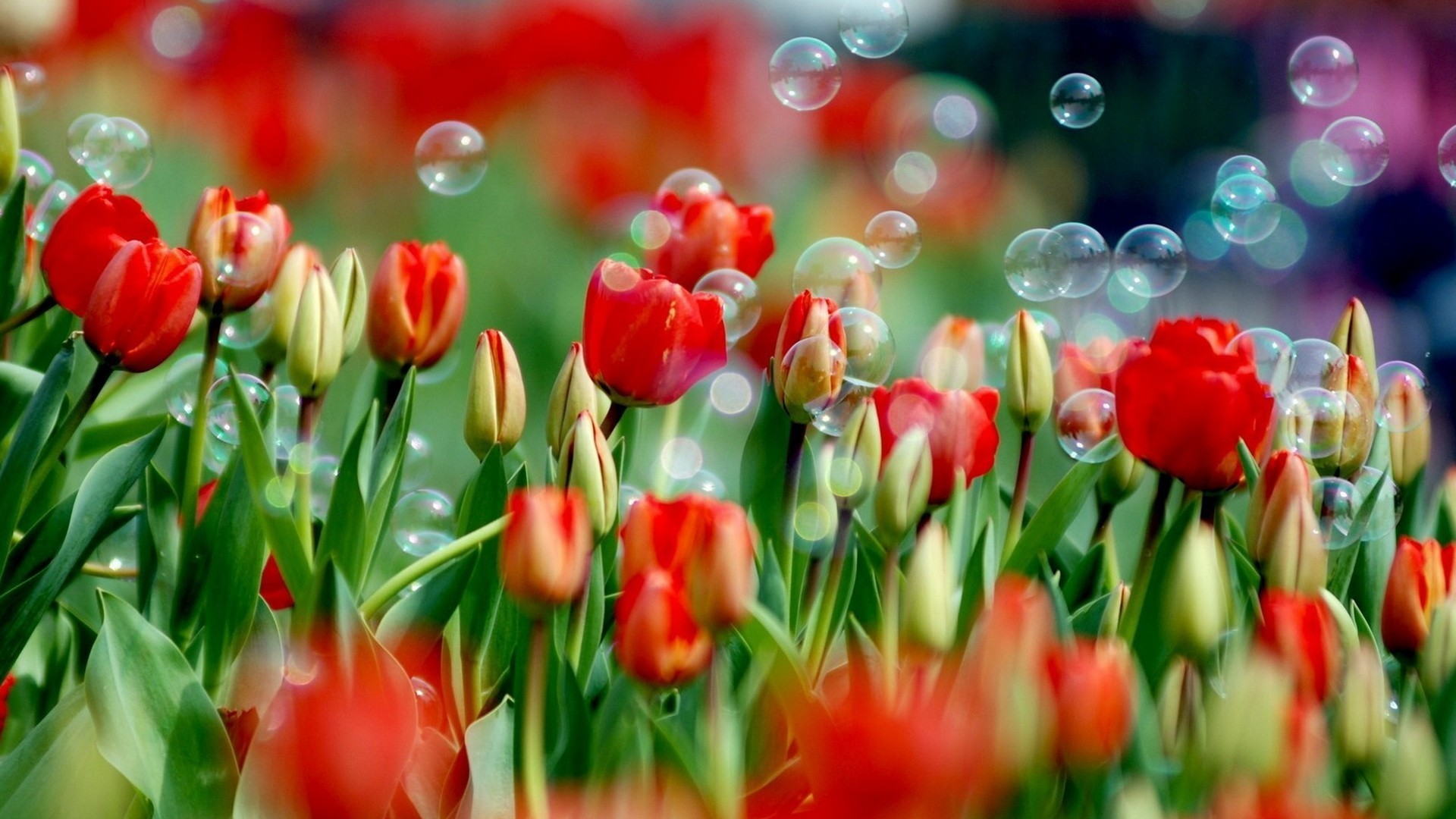 Tulips background wallpaper 70 images 1920x1080 spring tulips hd 300x168 spring hd wallpapers izmirmasajfo