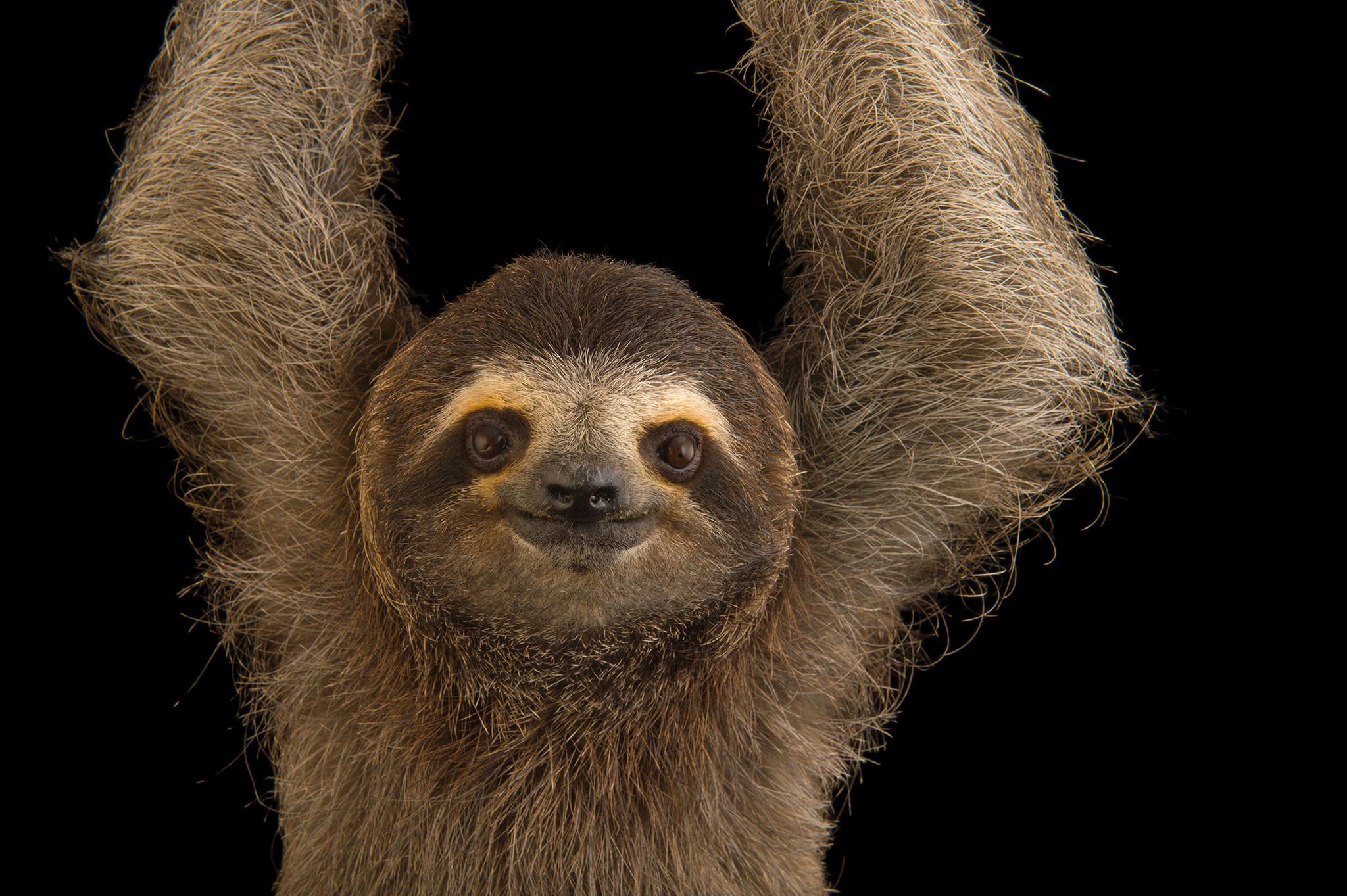 1920x1080 8 Sloth Wallpaper HD8 600x338